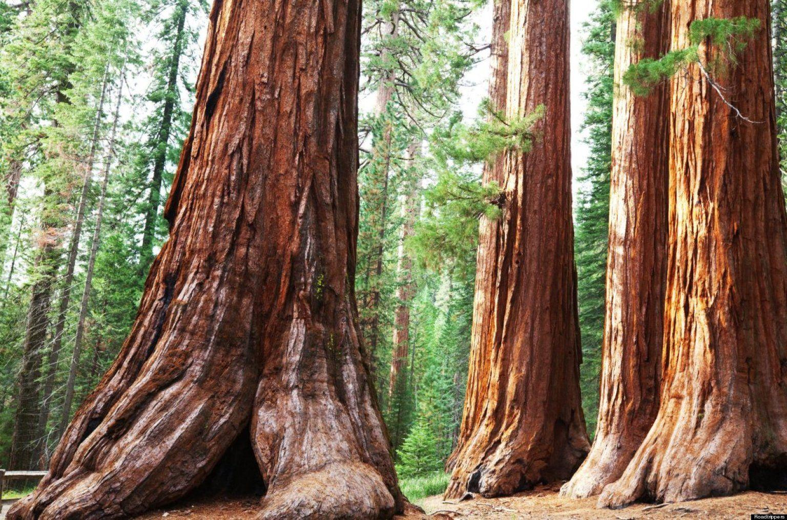 40+ Best HD Sequoia National Park Wallpapers