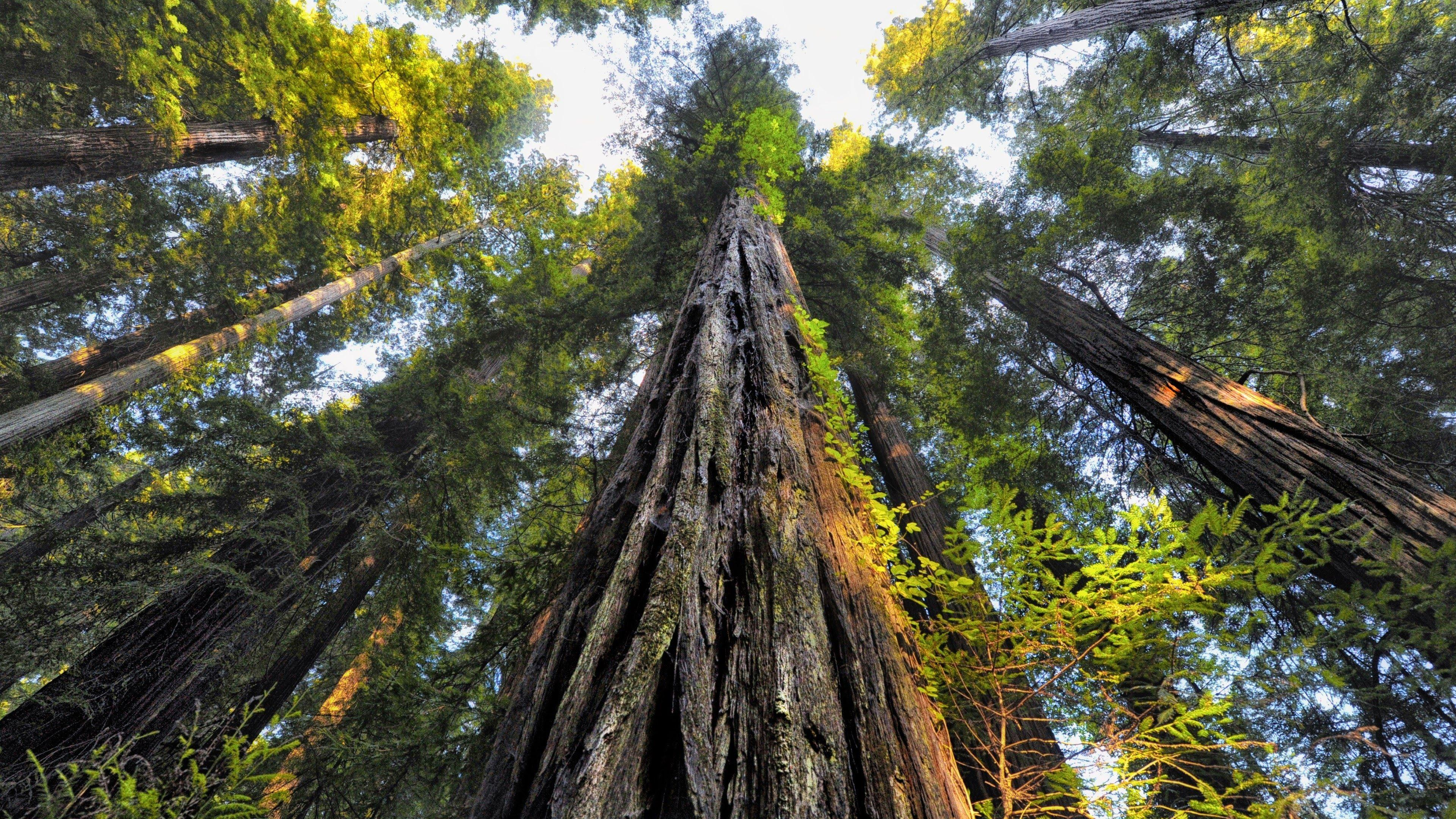 Download 3840x2160 Forest, Old Trees, Worm View, Sequoia National