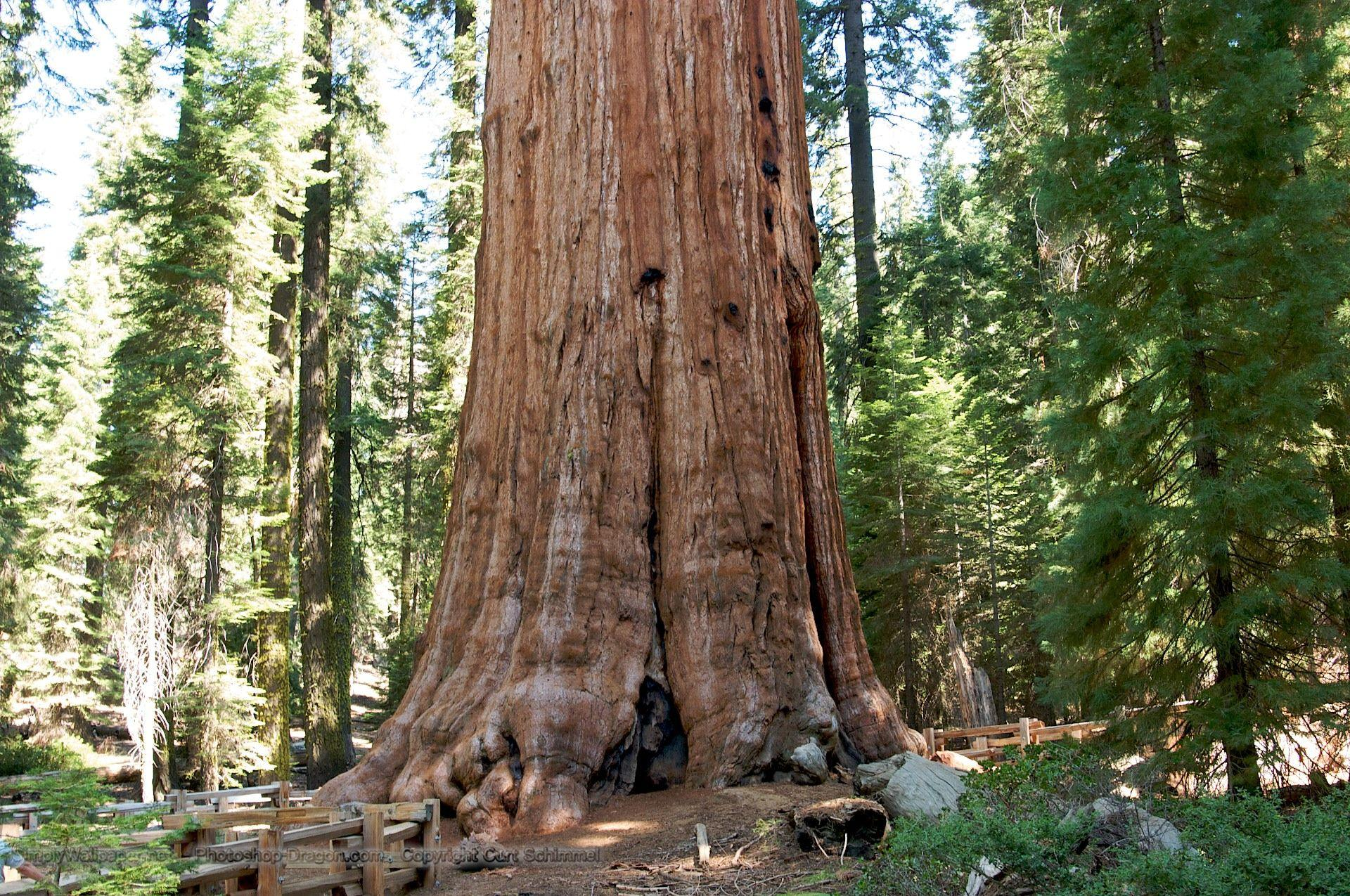 General Sherman Tree in Sequoia National Park Desktop Wallpapers