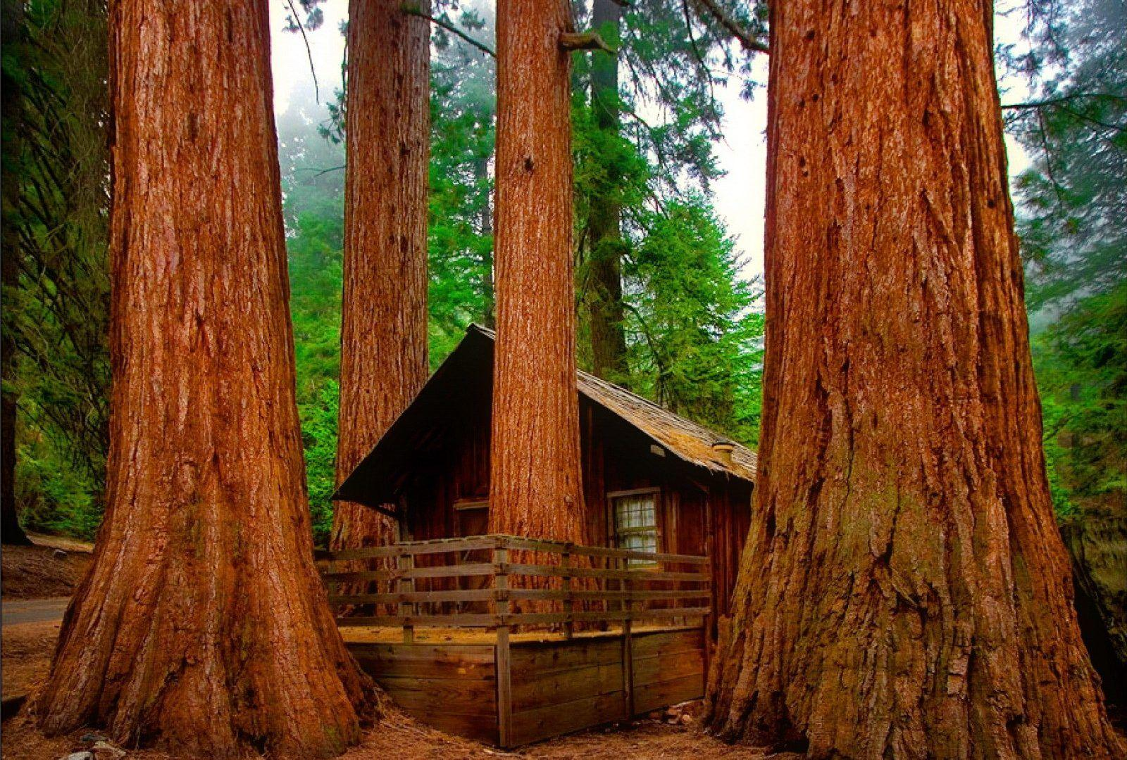 Sequoia Tag wallpapers: Sequoi Nature Forest Brown Wood Tree