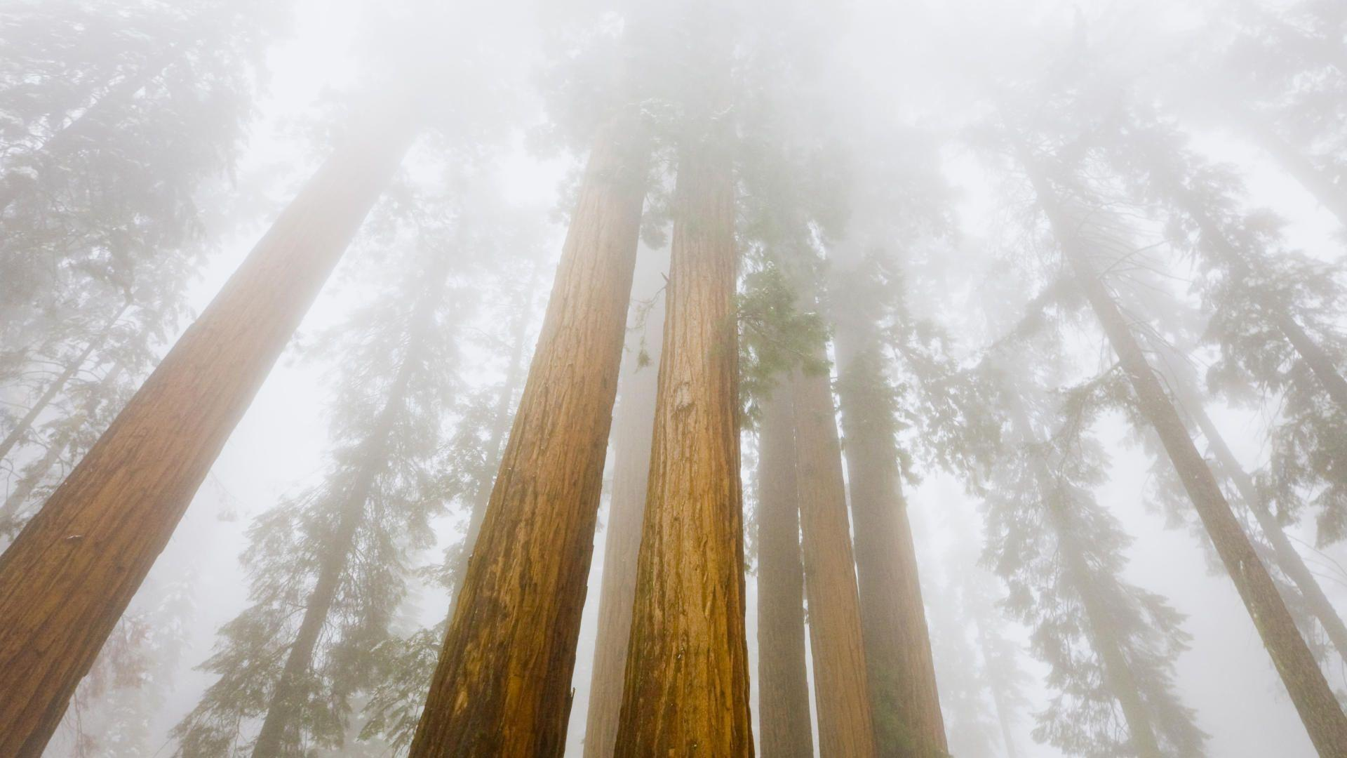 Nature: Foggy Sequoias, Sequoia National Park, California, desktop