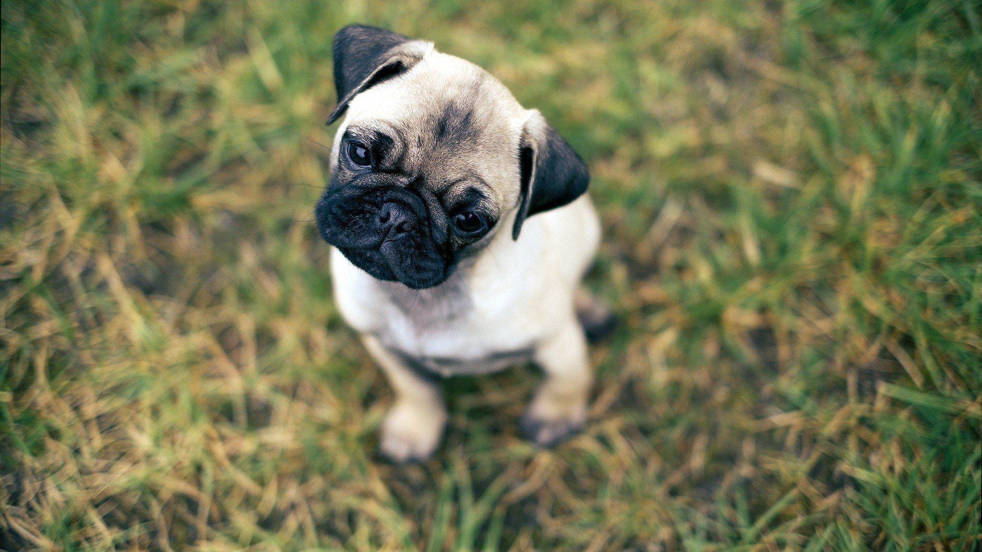 Pug Puppy Wallpapers Hd Wallpaper Cave