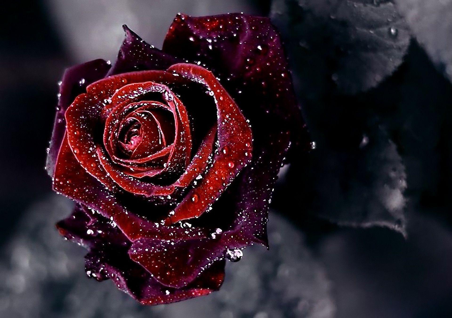 Rose Wallpapers HD - Wallpaper Cave