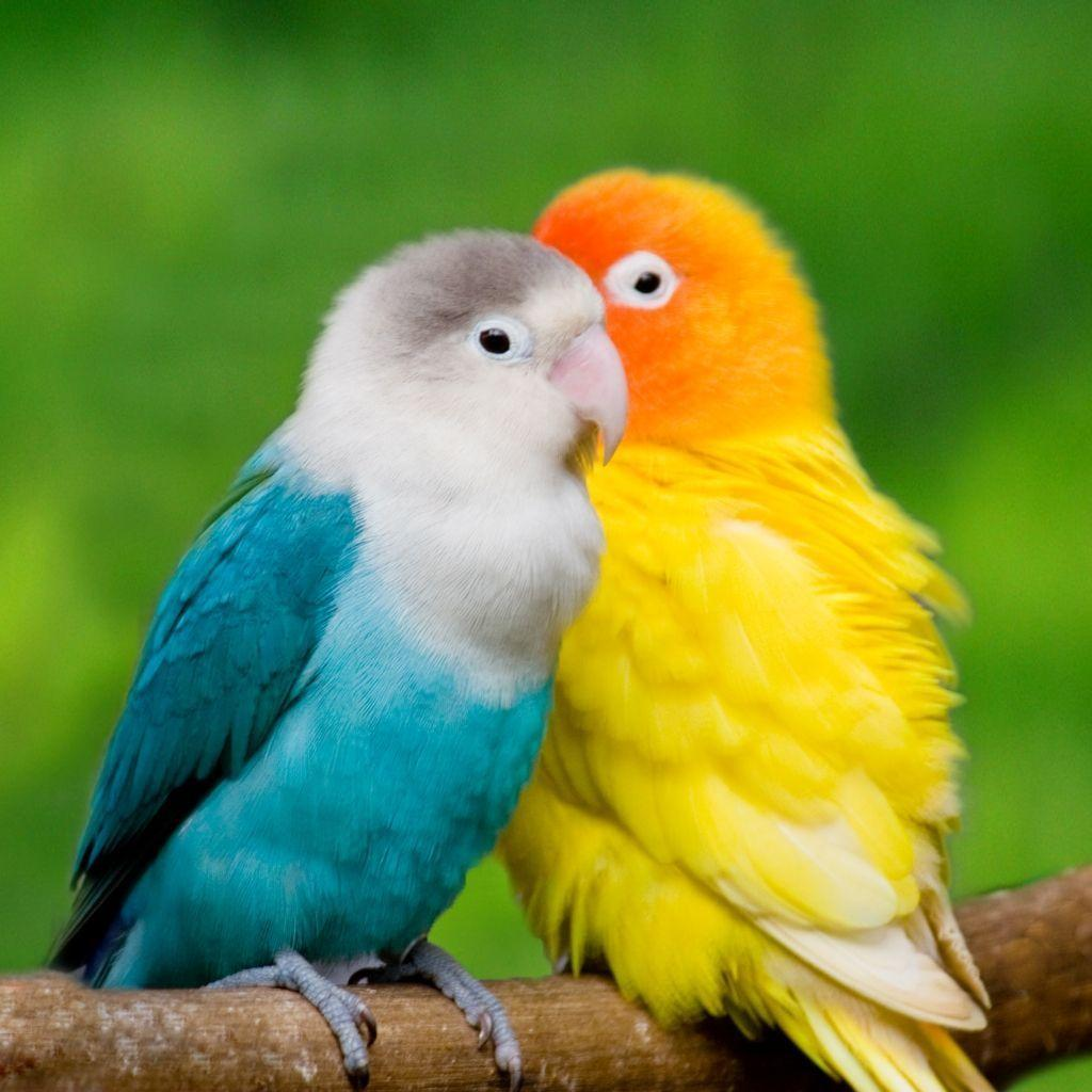 Love Birds Hd Wallpapers Wallpaper Cave