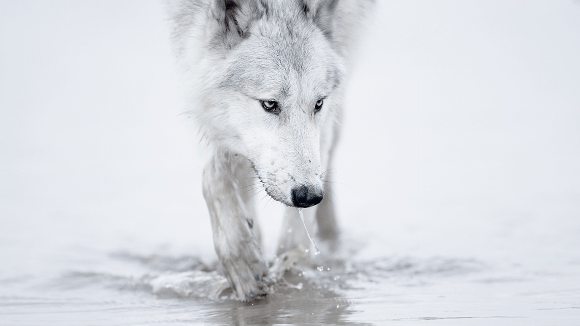 White Wolves Wallpapers Wallpaper Cave
