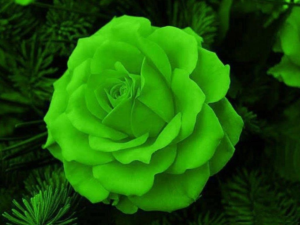 Flower Green Rose Nature Wallpaper Desktop Full Size For HD