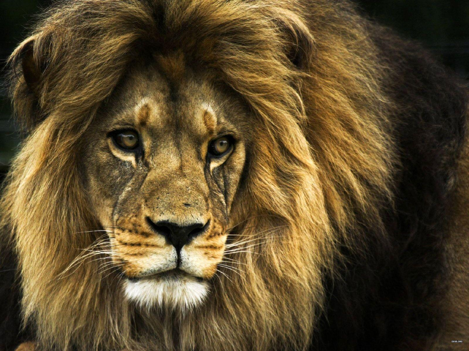 Angry Lion Face Wallpapers Wallpaper Cave