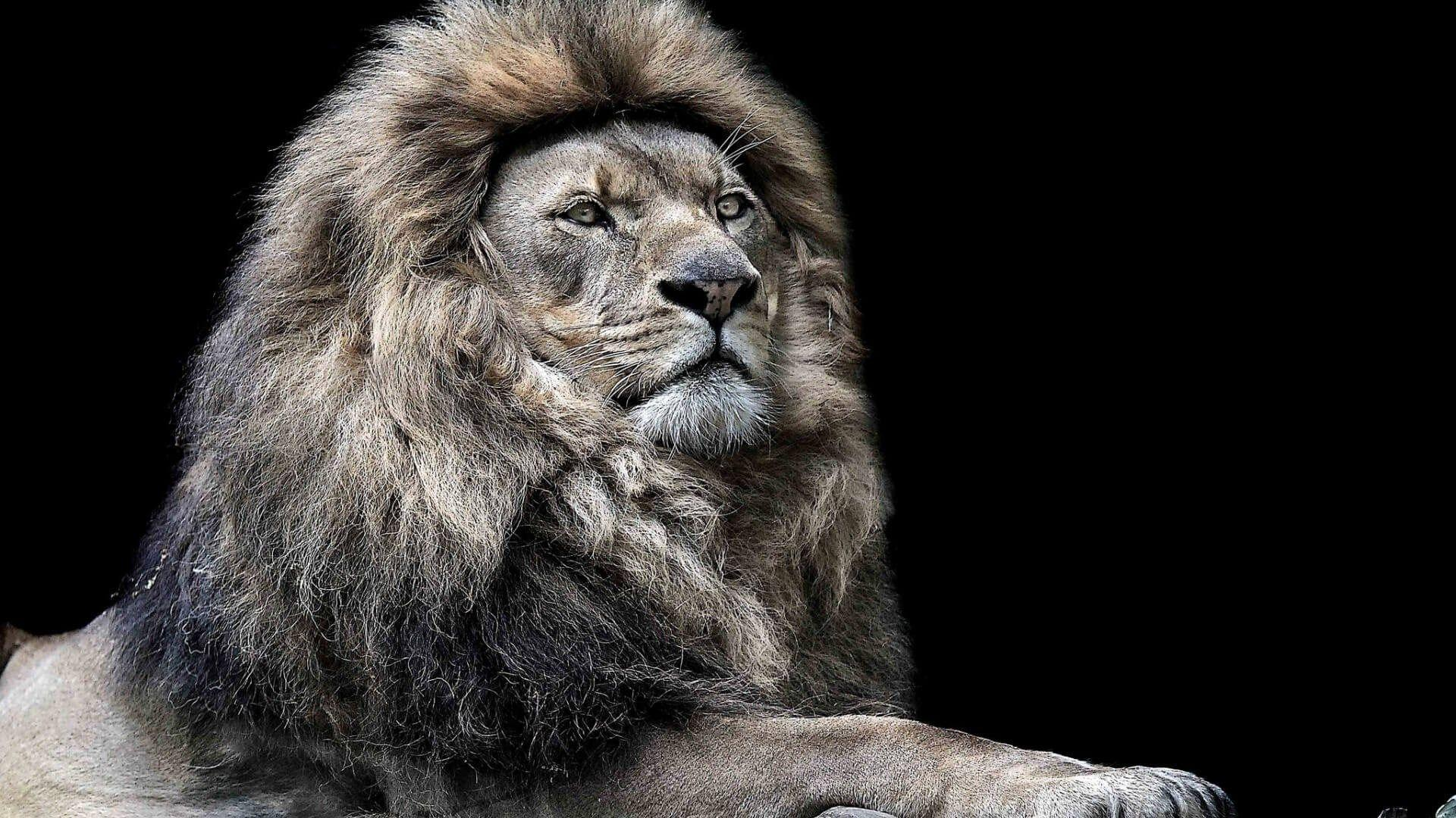 Angry Lion Face Wallpapers - Wallpaper Cave