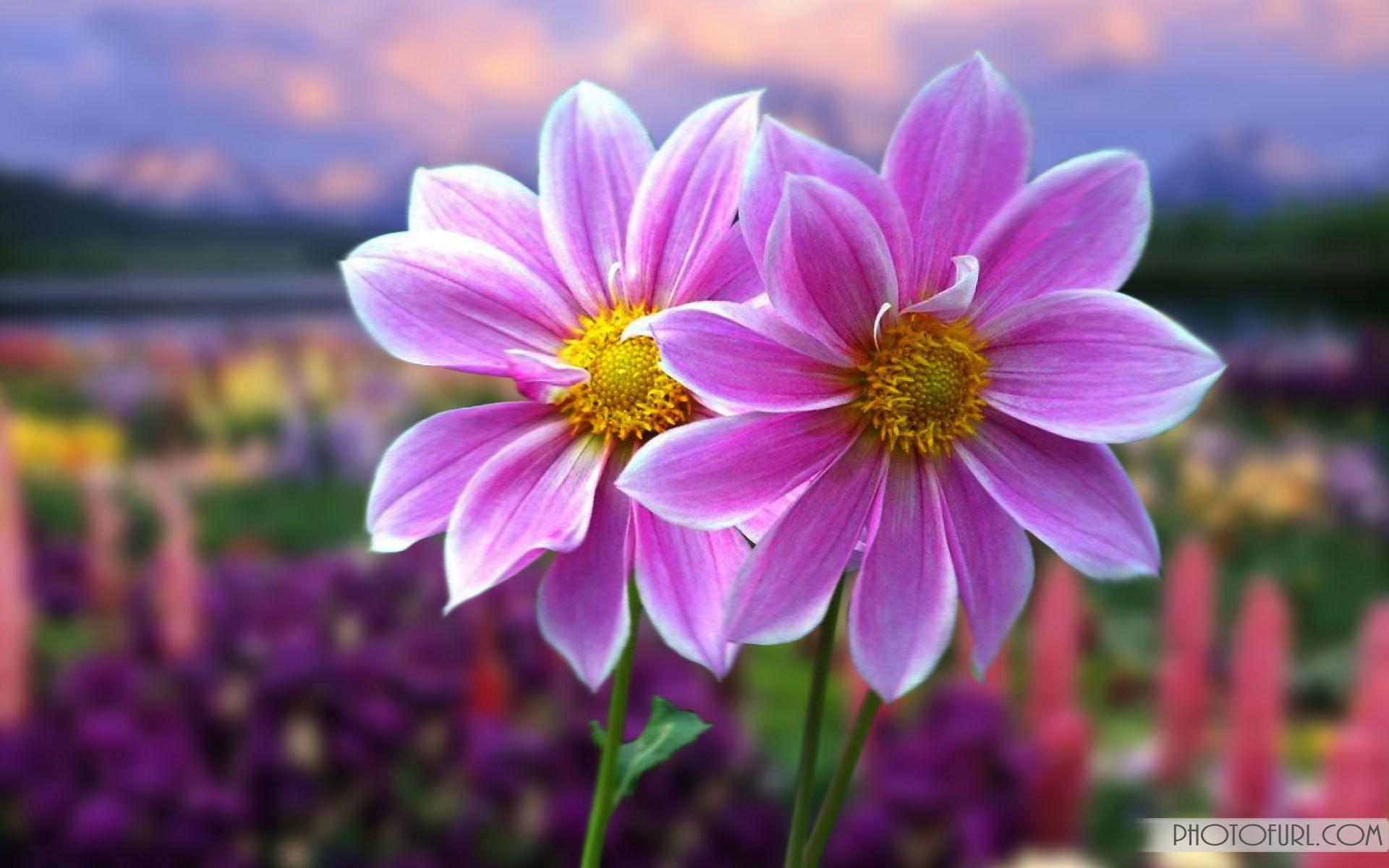 Most Beautiful Flowers Wallpapers For Desktop - Wallpaper Cave