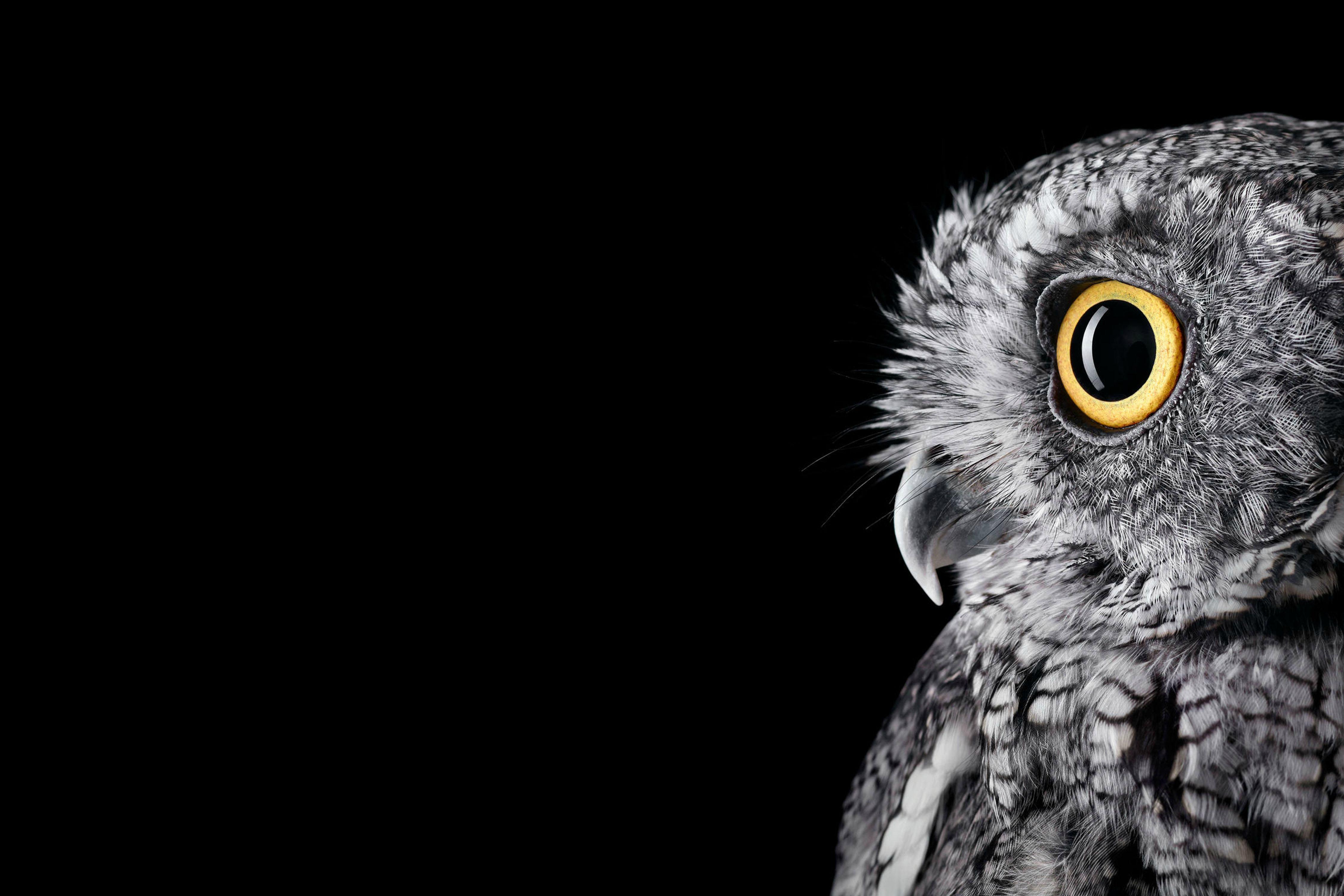 Wallpapers Owl, HD, 4K, Animals,