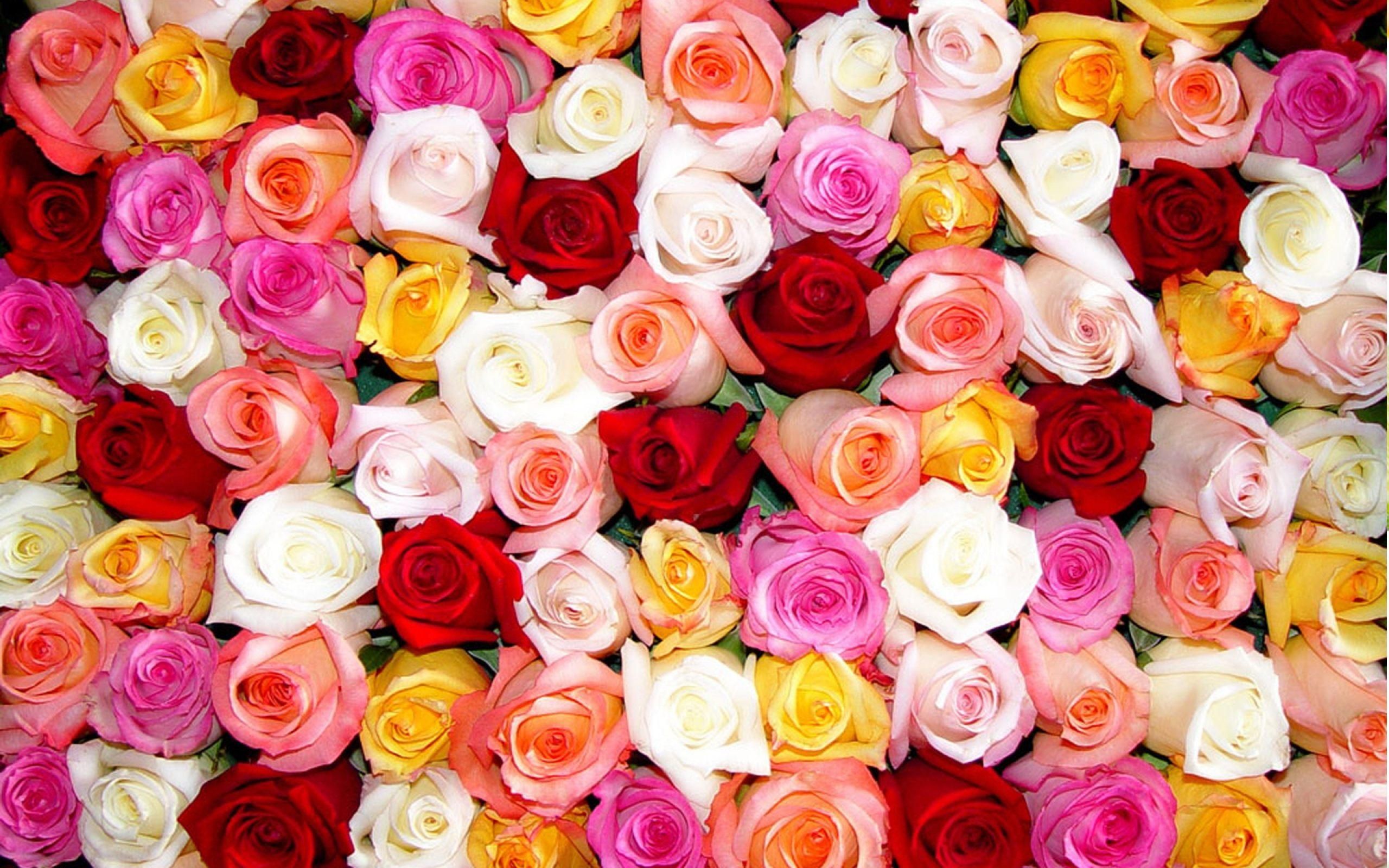 Rose Color Flowers Wallpaper Full Hd Colorful For Computer
