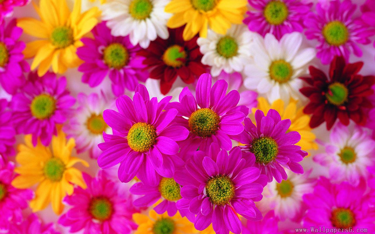 Free Colorful Flower Desktop Wallpaper: Colourful Flower Wallpapers
