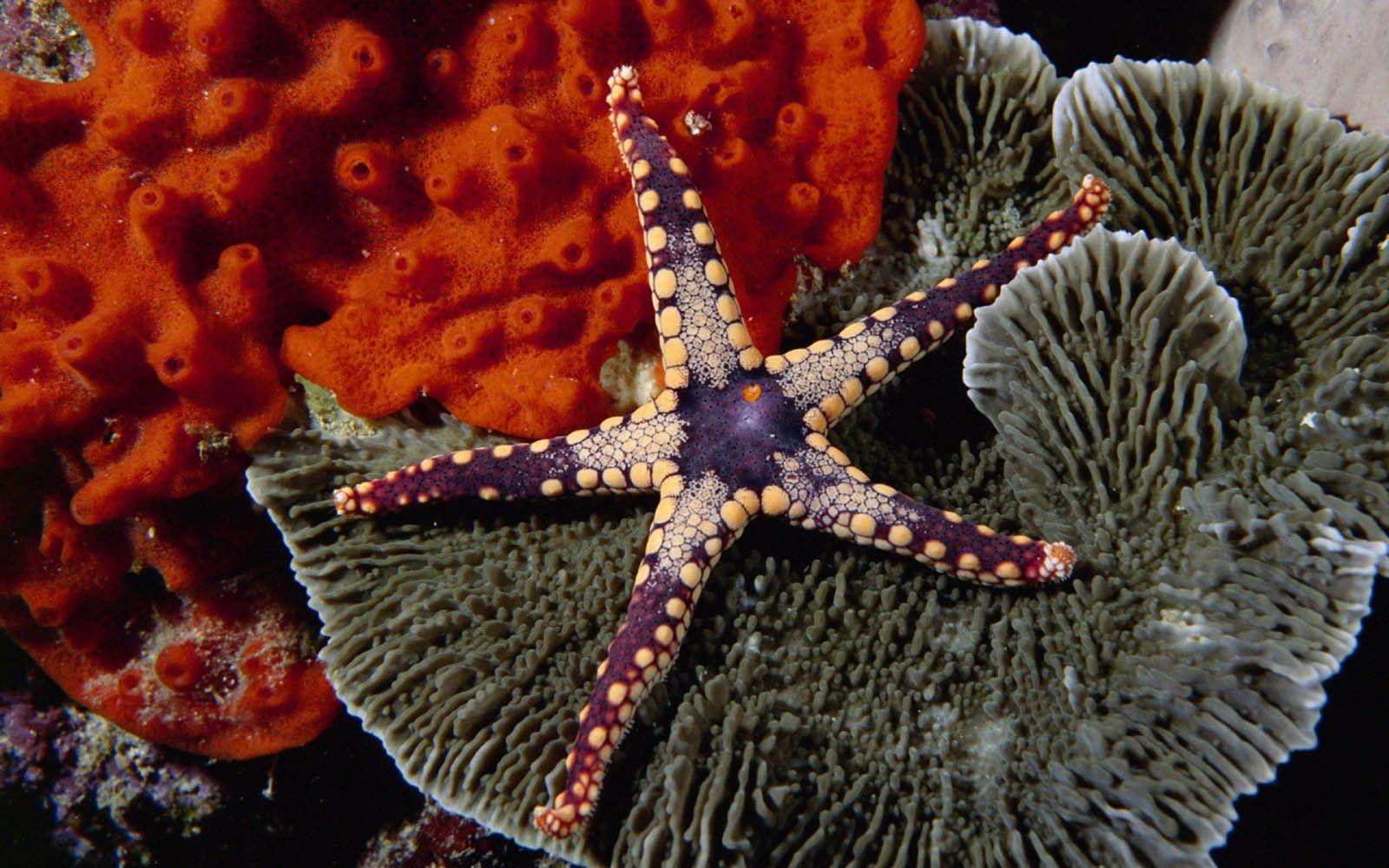 bintang laut hp advan