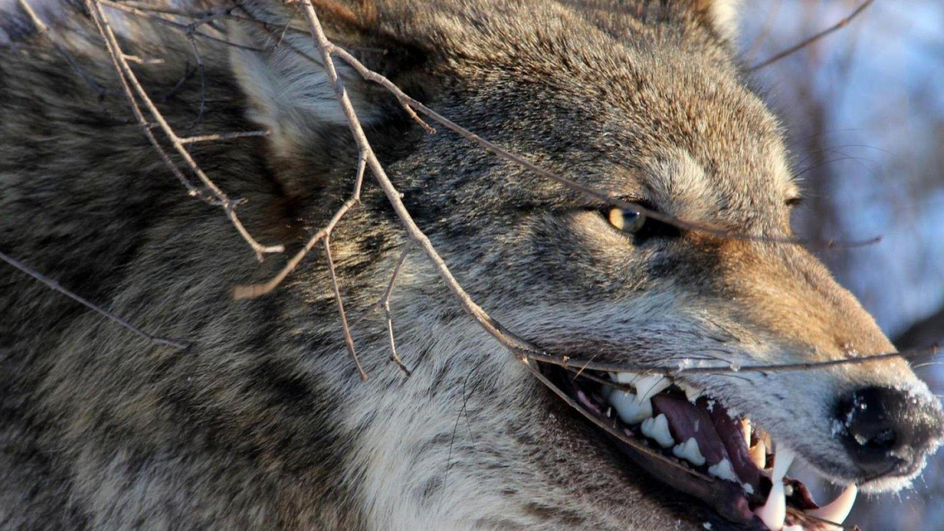 Angry Wolf Hd