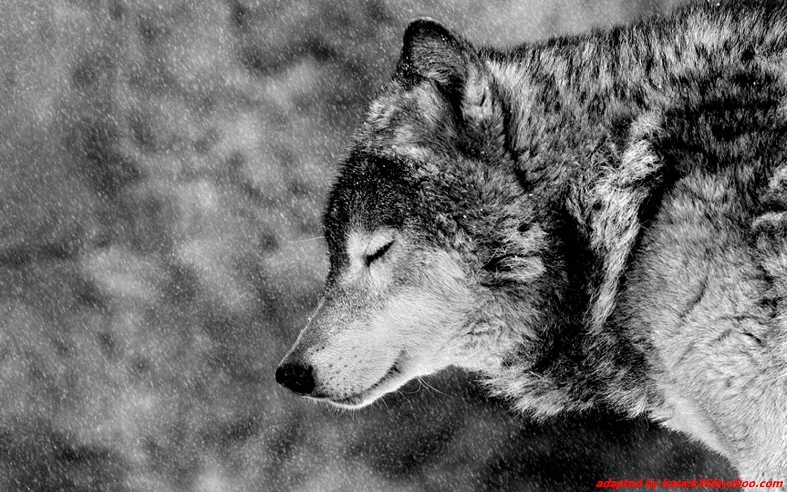 Angry Wolf Wallpapers HD - Wallpaper Cave