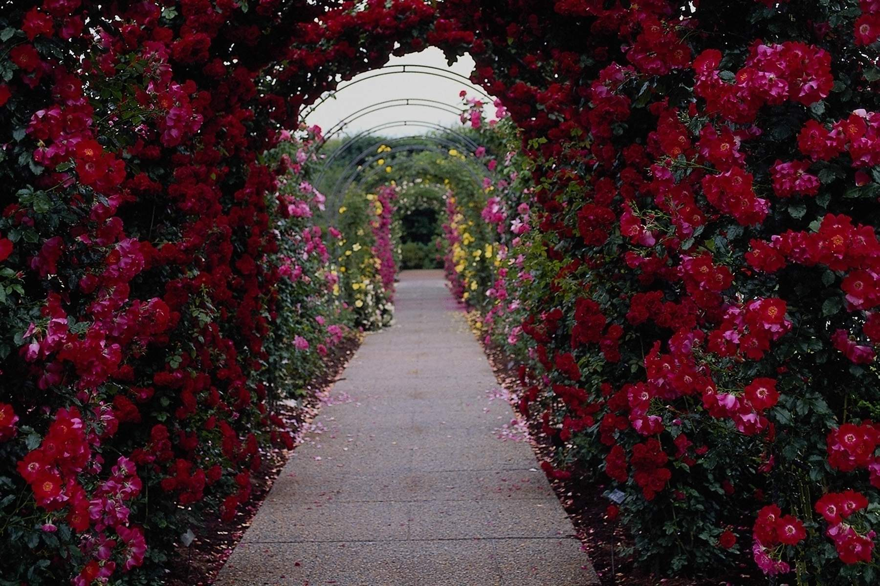 Rose Flower Garden Wallpapers Wallpaper Cave