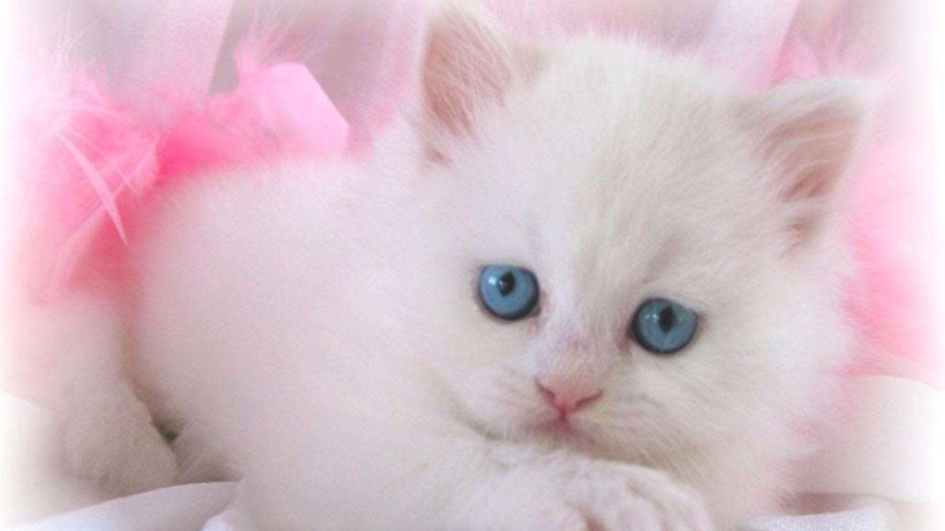 Cute White Cat Wallpapers For Desktop Wallpaper Cave