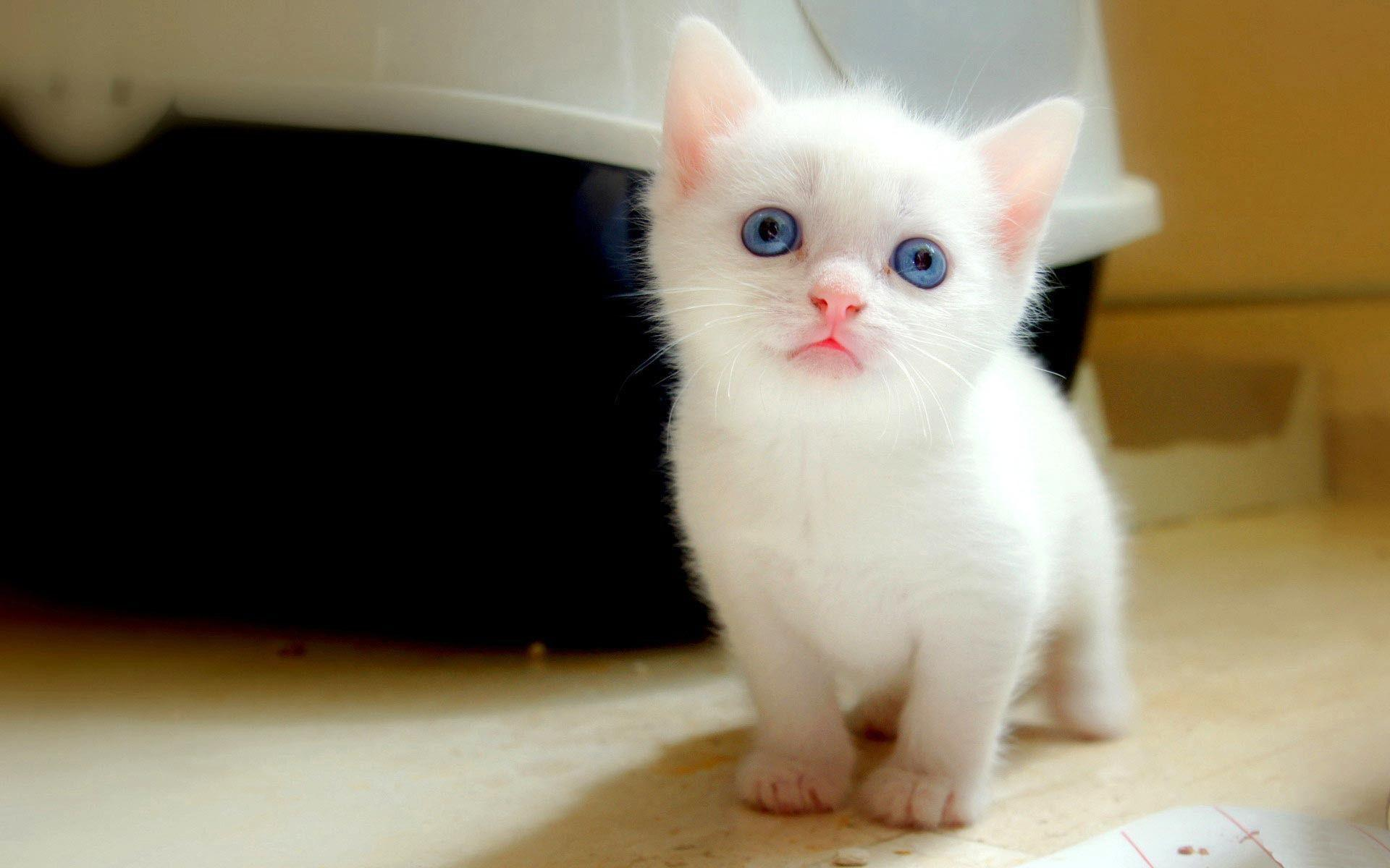 Cute White Cat Wallpapers For Desktop Wallpaper Cave