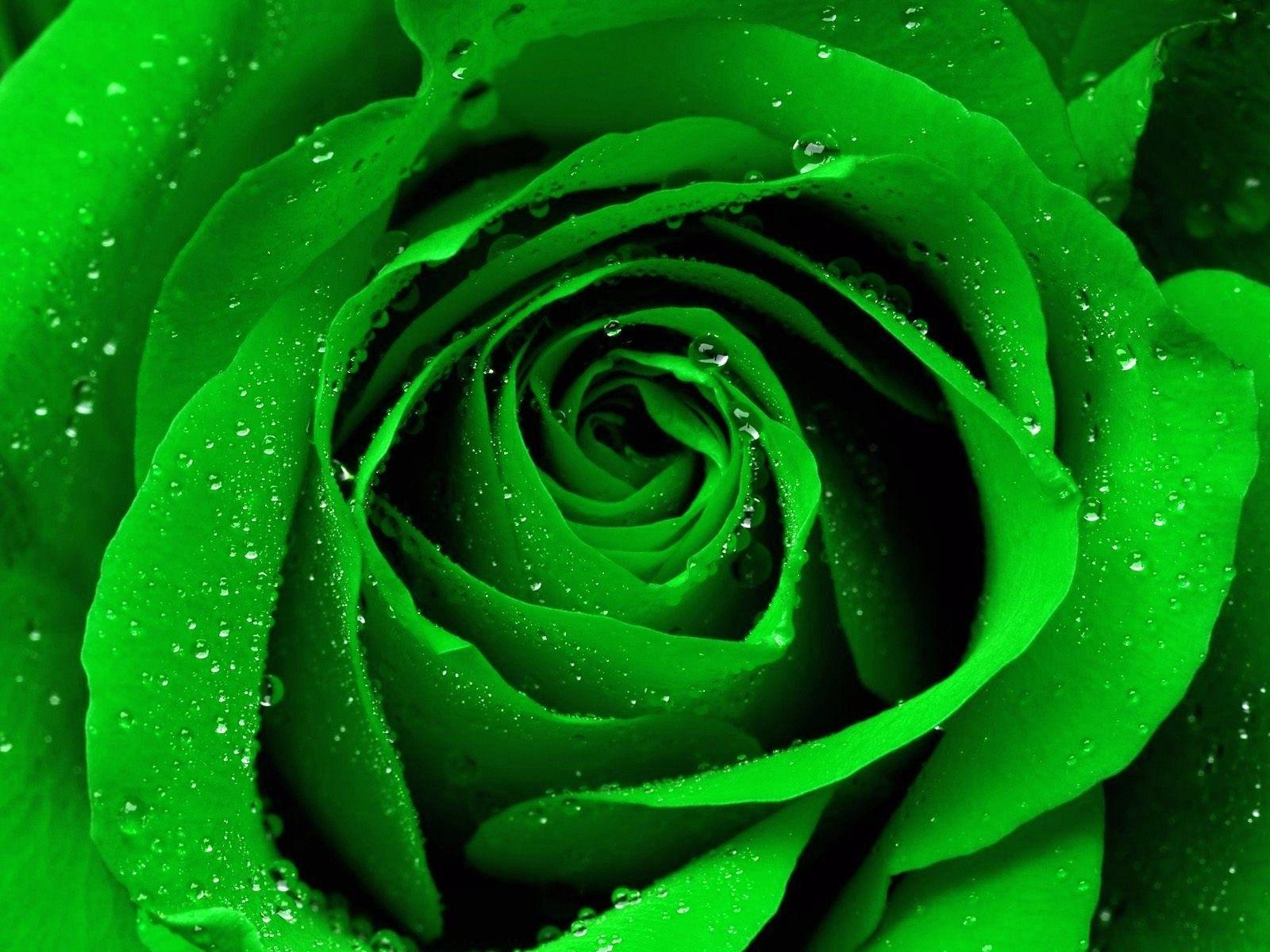 Beautiful Green Rose Wallpapers Wallpaper Cave