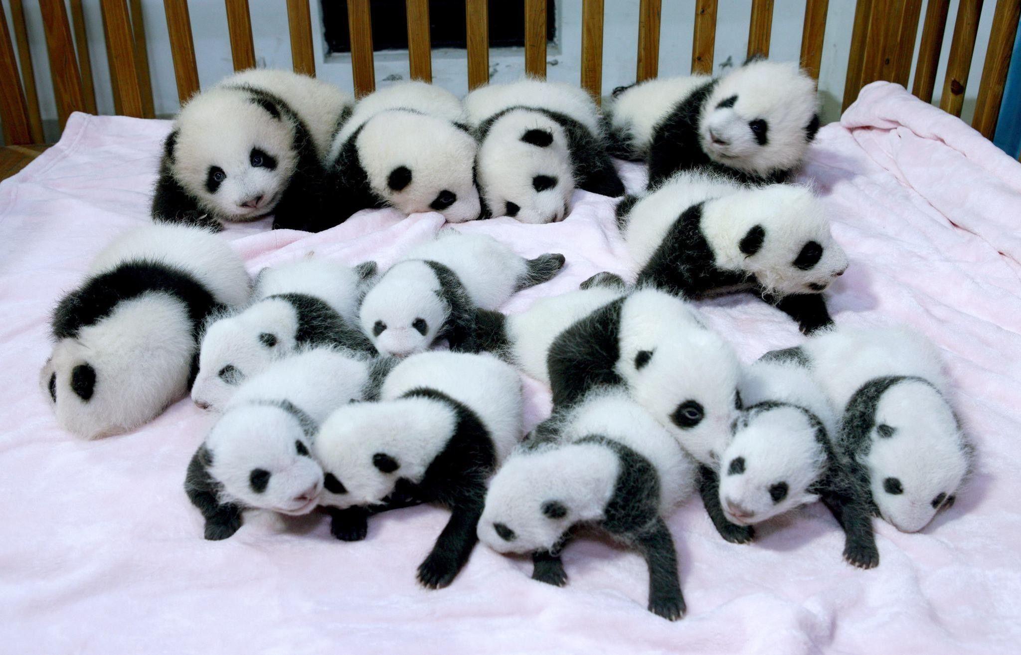 Gambar Wallpapers Tumblr Panda Wallpaper Cave