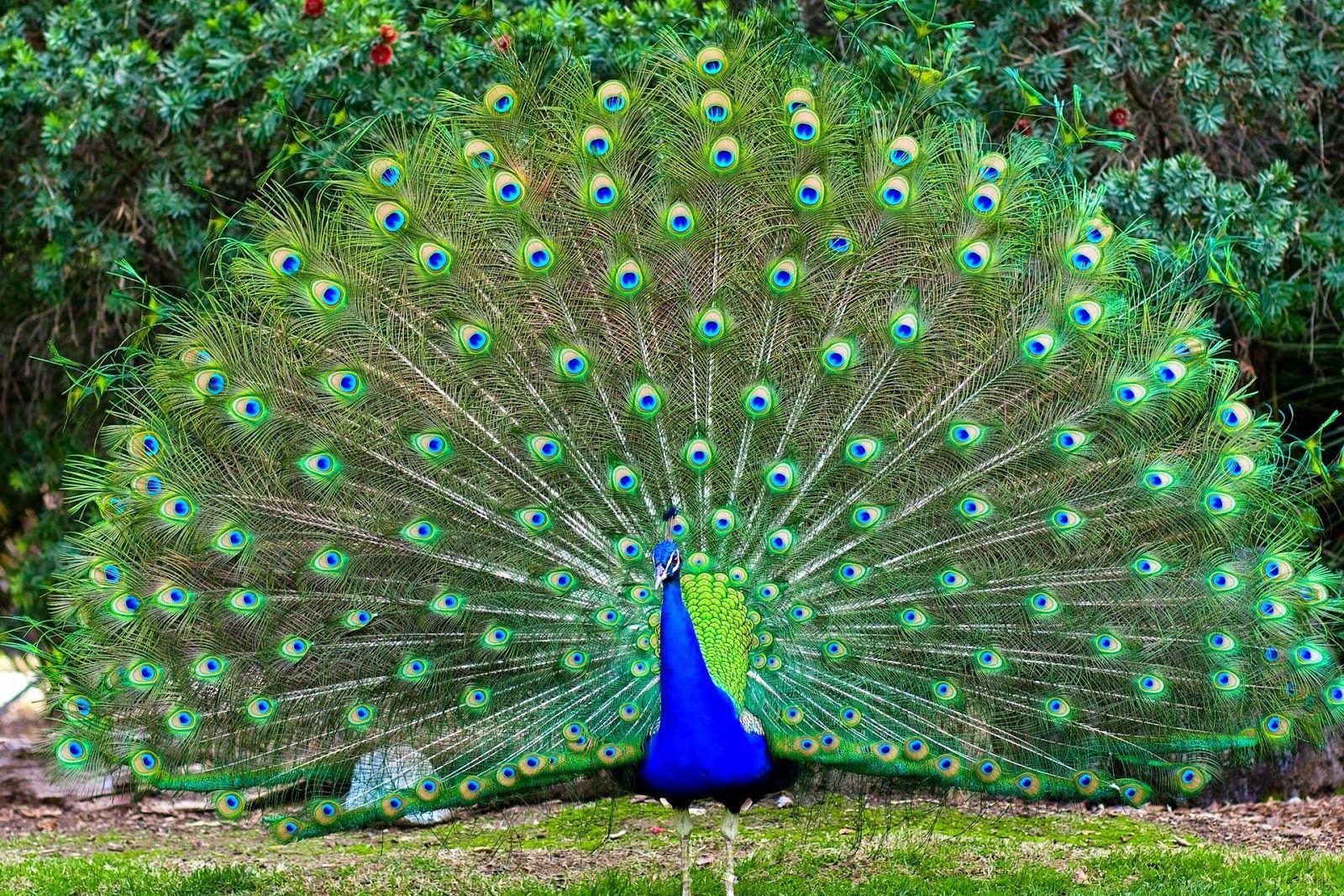 7300 Gambar Mewarnai Hewan Burung Merak HD Terbaru