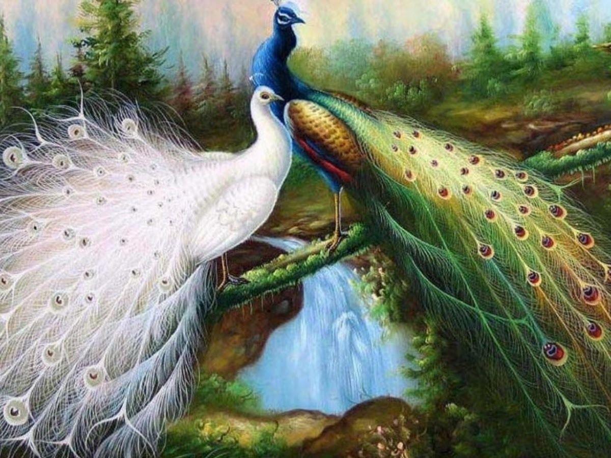 Unduh 680+  Gambar Burung Merak Paling Cantik   Gratis