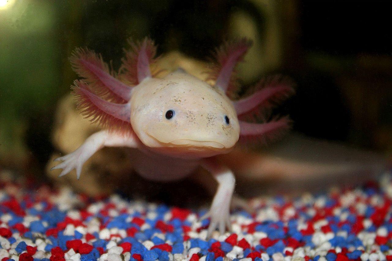 Axolotl Wallpapers - Wallpaper Cave