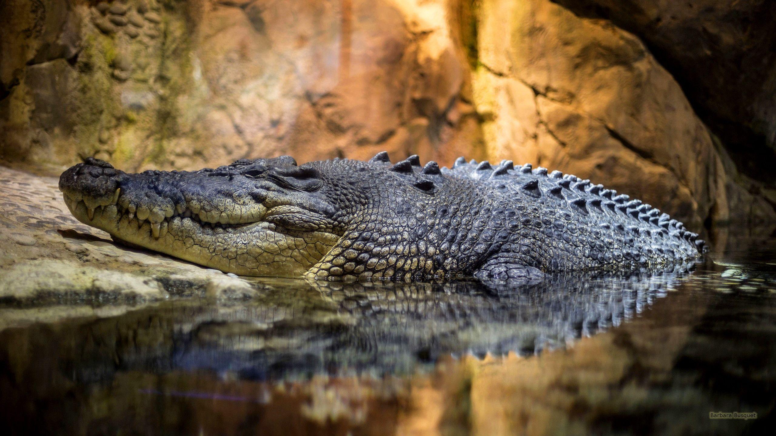 Crocodiles Wallpapers - Wallpaper Cave