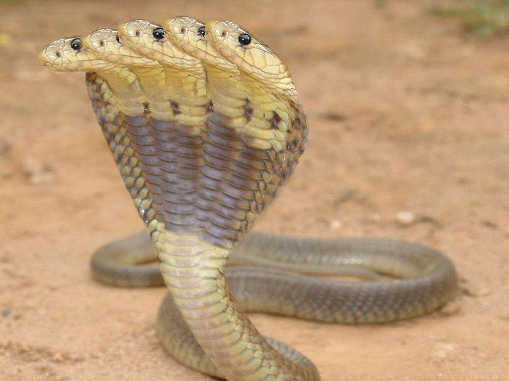 Snake King Cobra Hd Wallpapers Wallpaper Cave