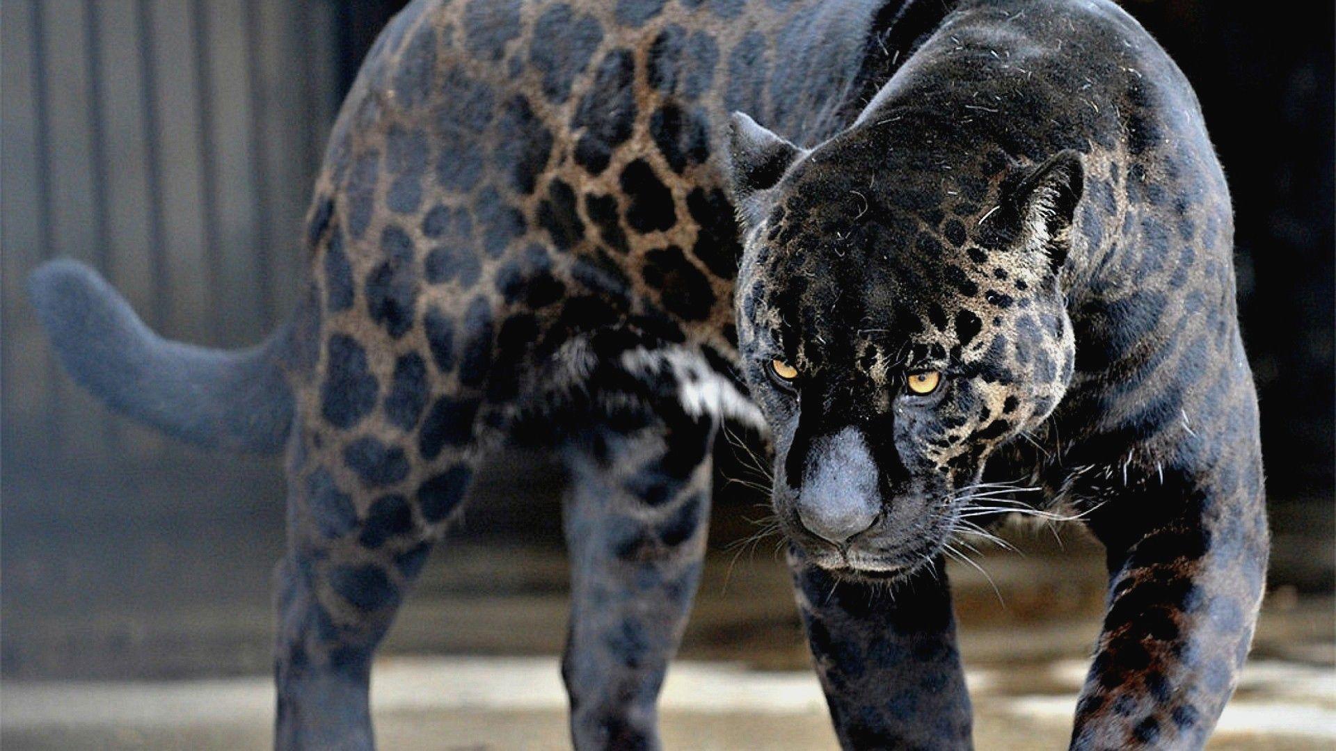 3d Black Jaguar Wallpapers Wallpaper Cave