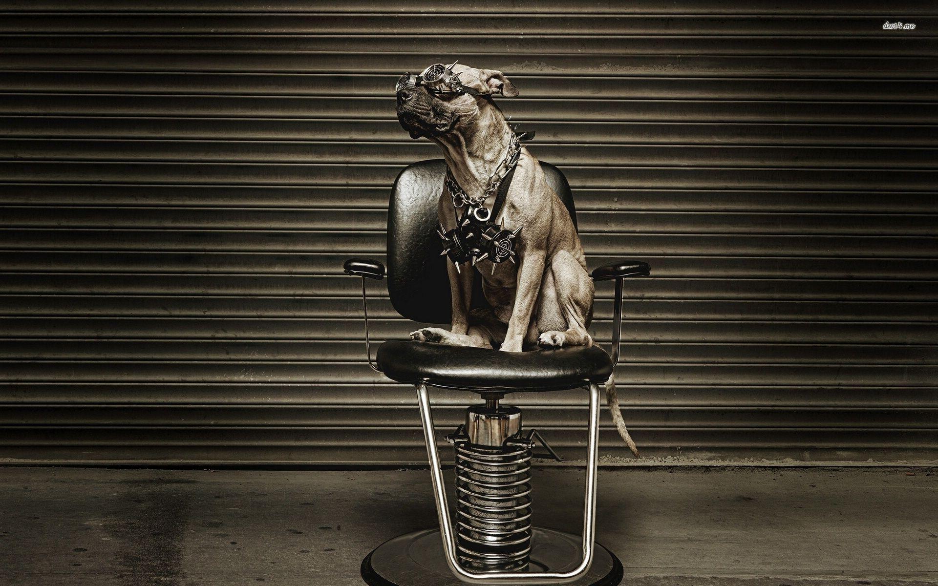 HD-pics-pitbull-dogs - wallpaper.wiki