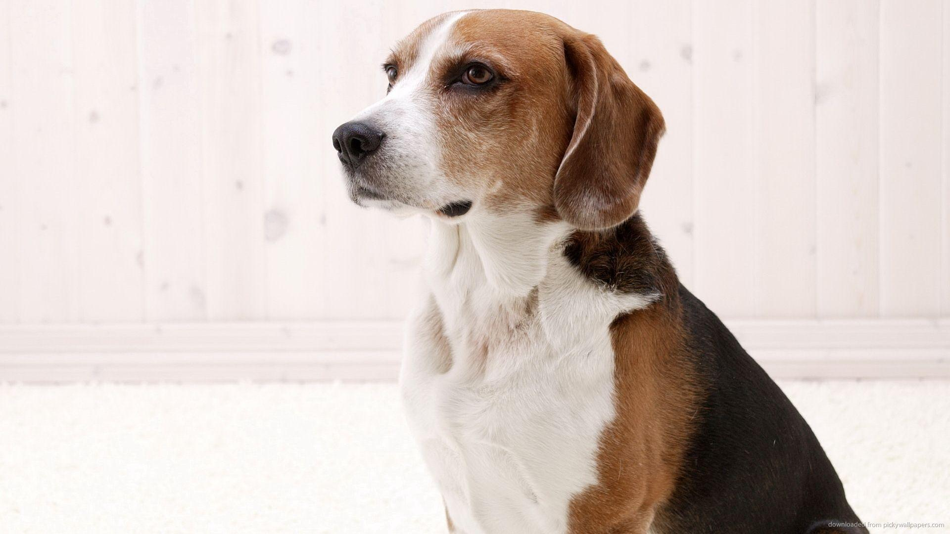 American Foxhound wallpapers