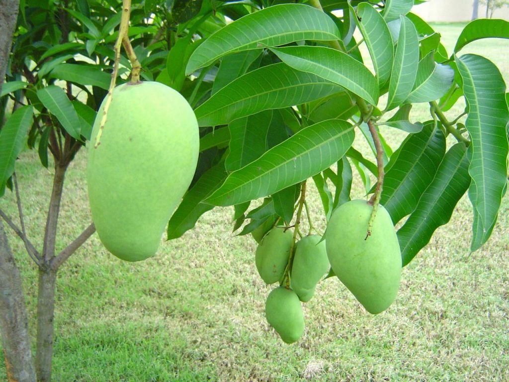 Alfanso Mango Tree Wallpapers Full HD
