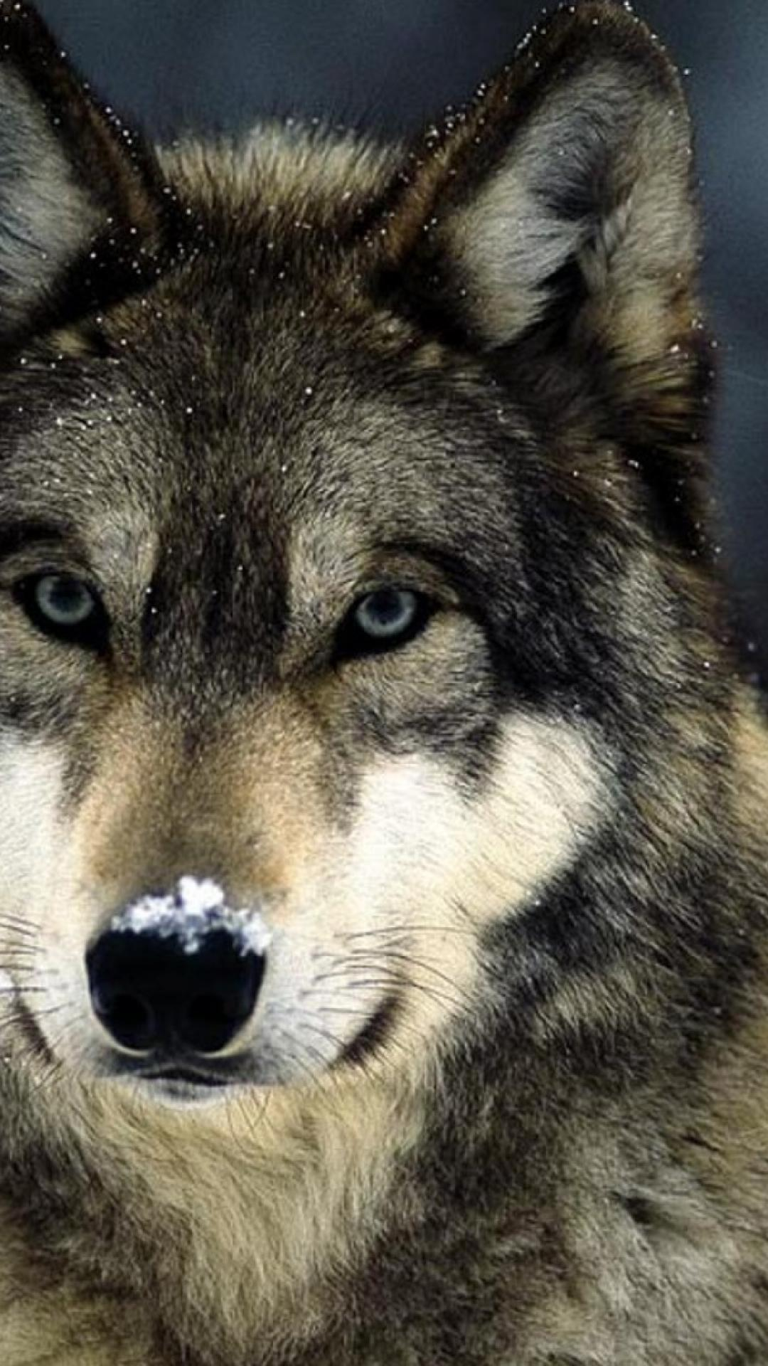 Blue Wolf Eyes Wallpapers HD