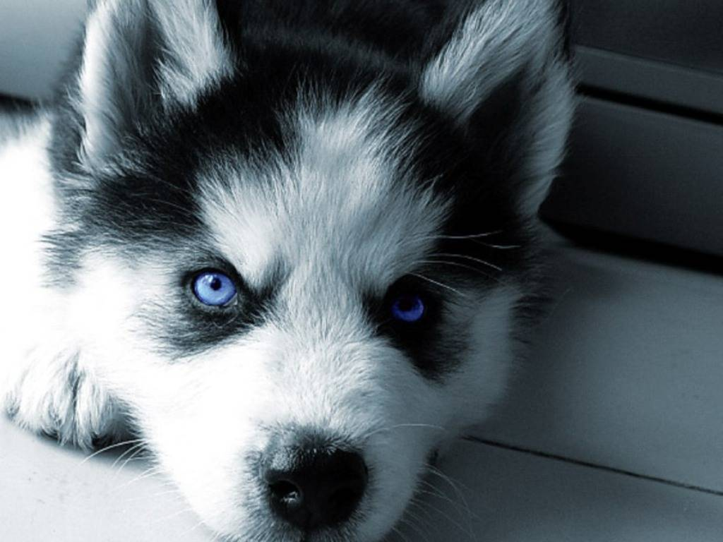 Blue Wolf Eyes Wallpapers Hd Wallpaper Cave