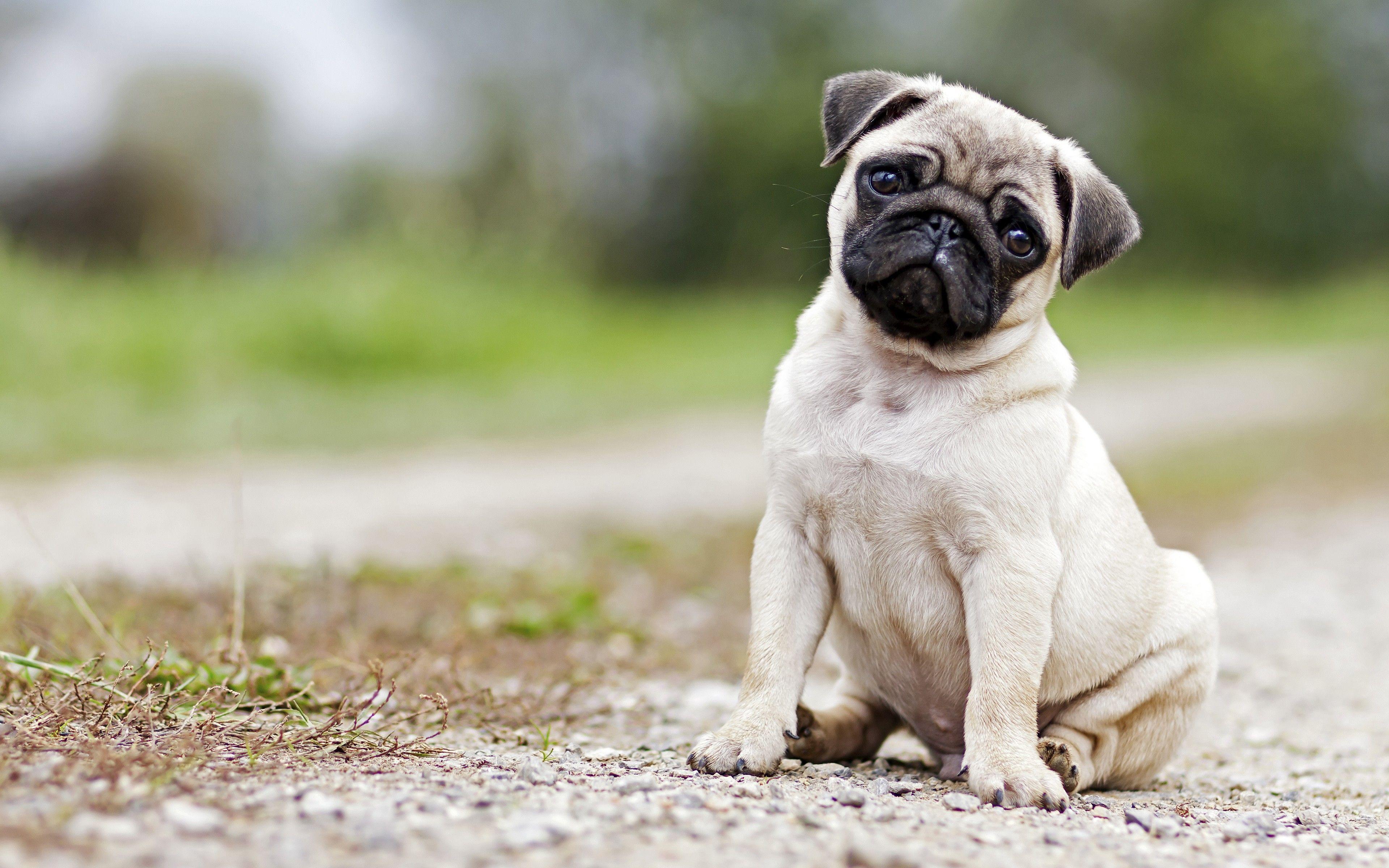 Pug Dog Hd Images Free Download Vinnyoleo Vegetalinfo