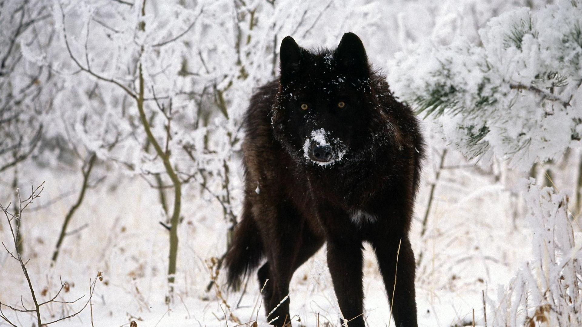 Black Wolf Hd Wallpapers Wallpaper Cave