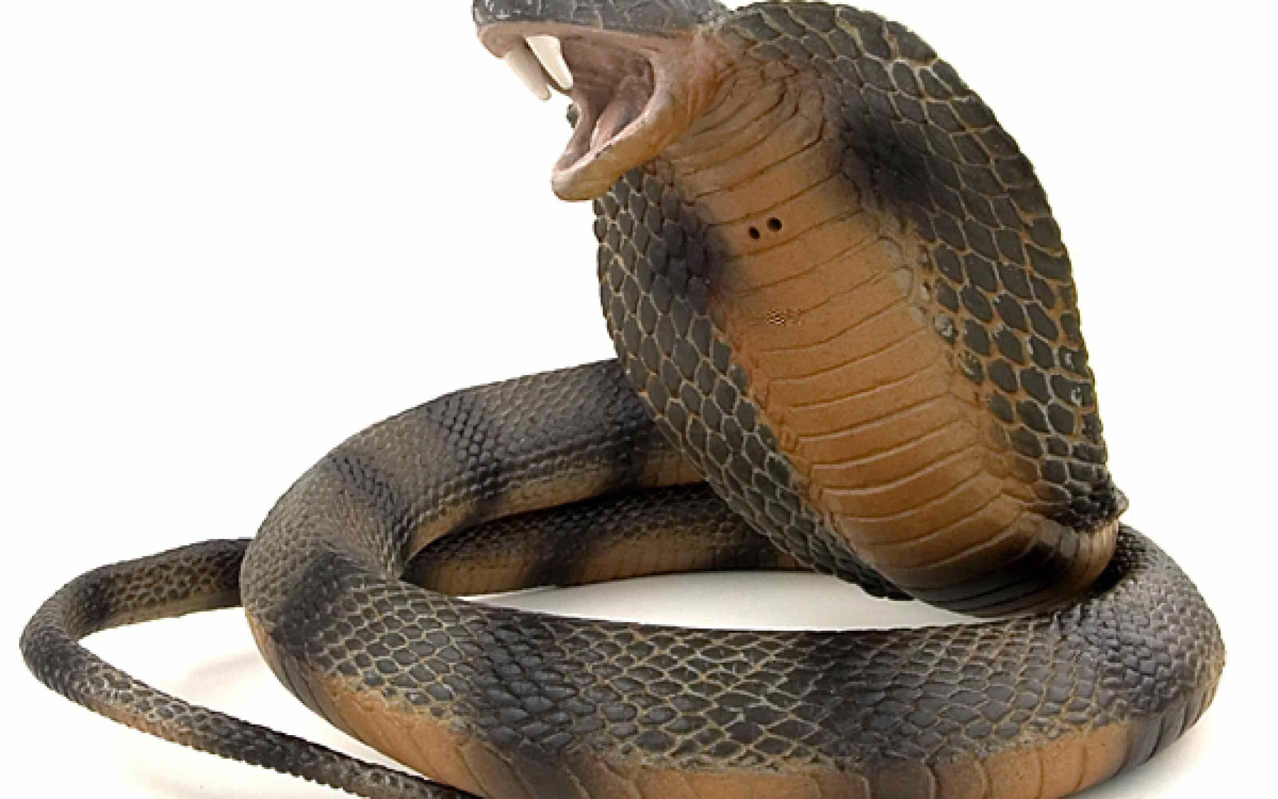 King Cobra Snake Wallpapers Hd Wallpaper Cave Images, Photos, Reviews