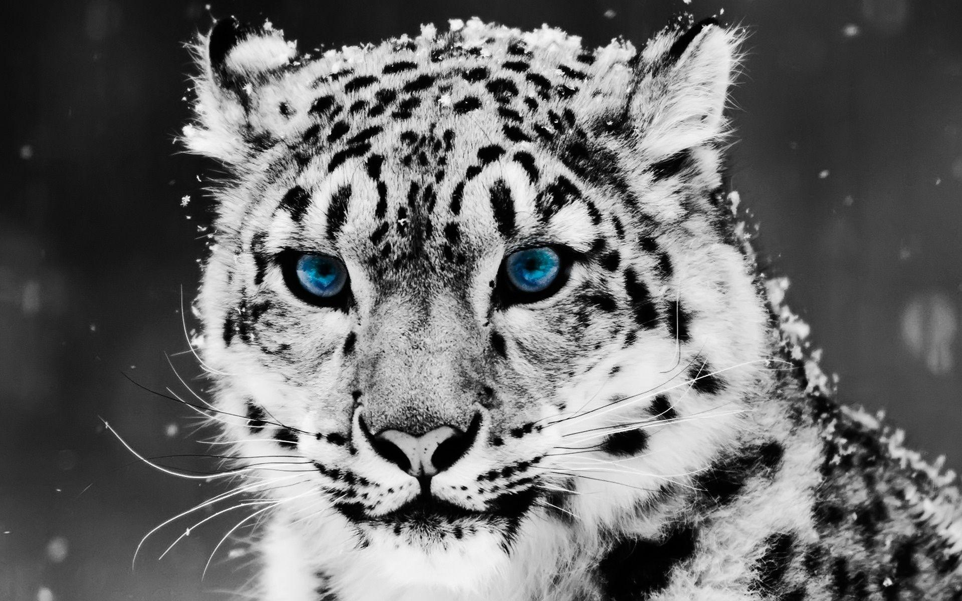 White Tiger With Blue Eyes Wallpapers 3d Wallpaper Cave