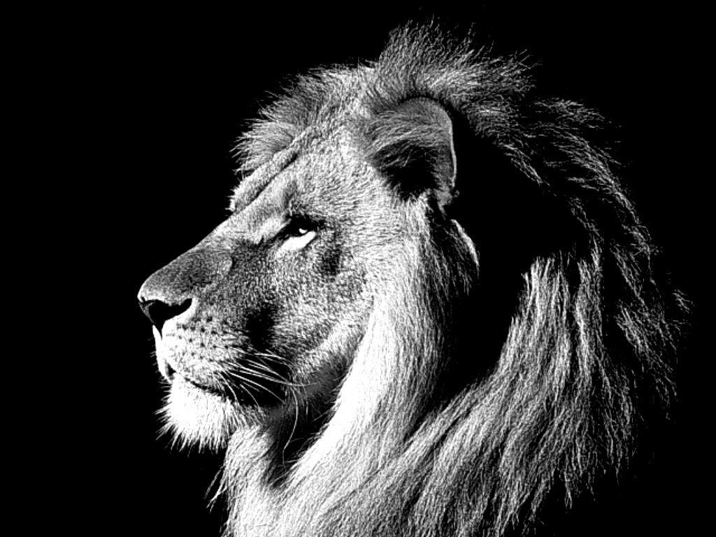 Free Lion Black And White Wallpaper Hd Long Wallpapers