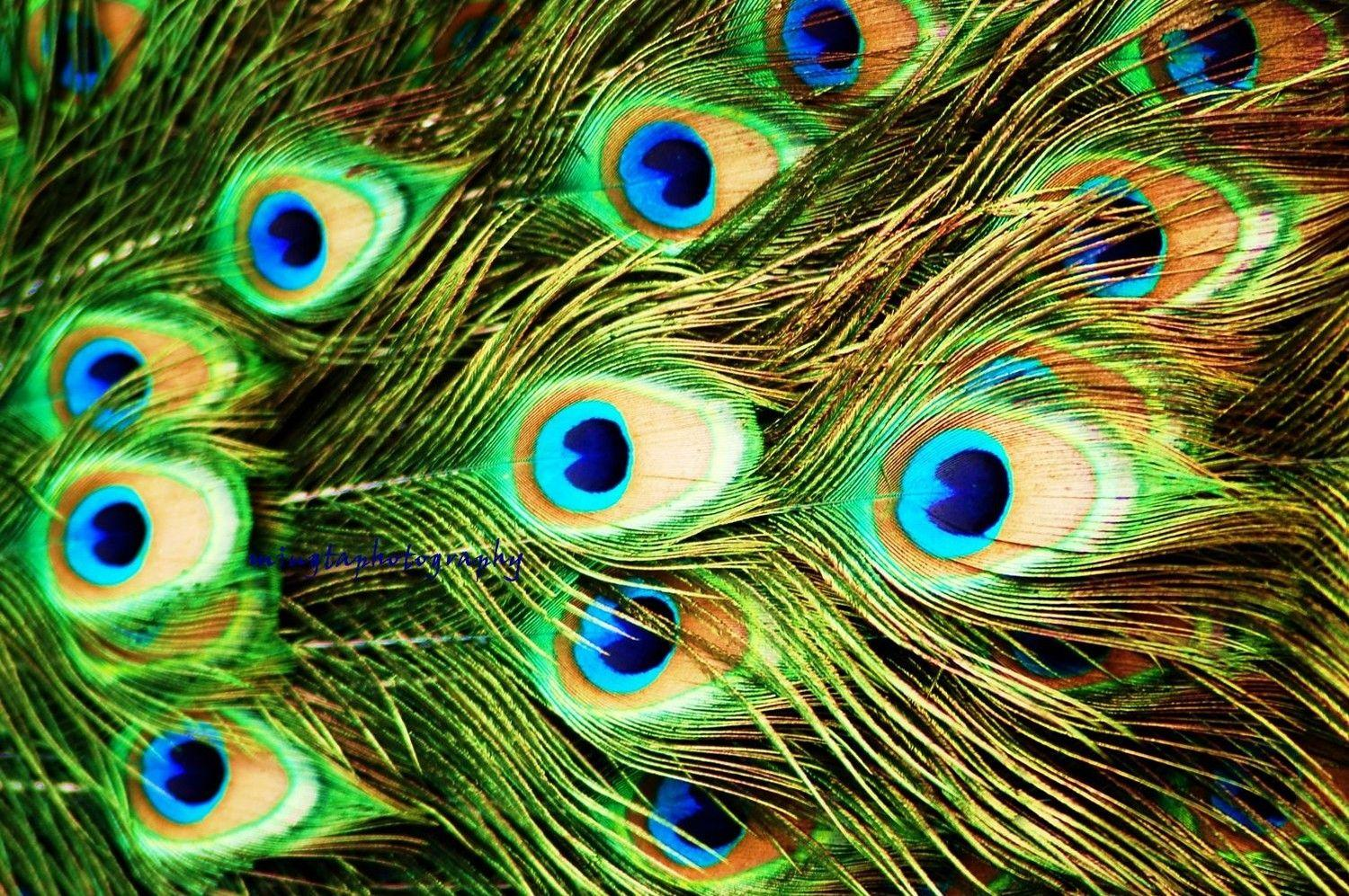 Peacock Feather Wallpapers HD Pictures One Wallpaper