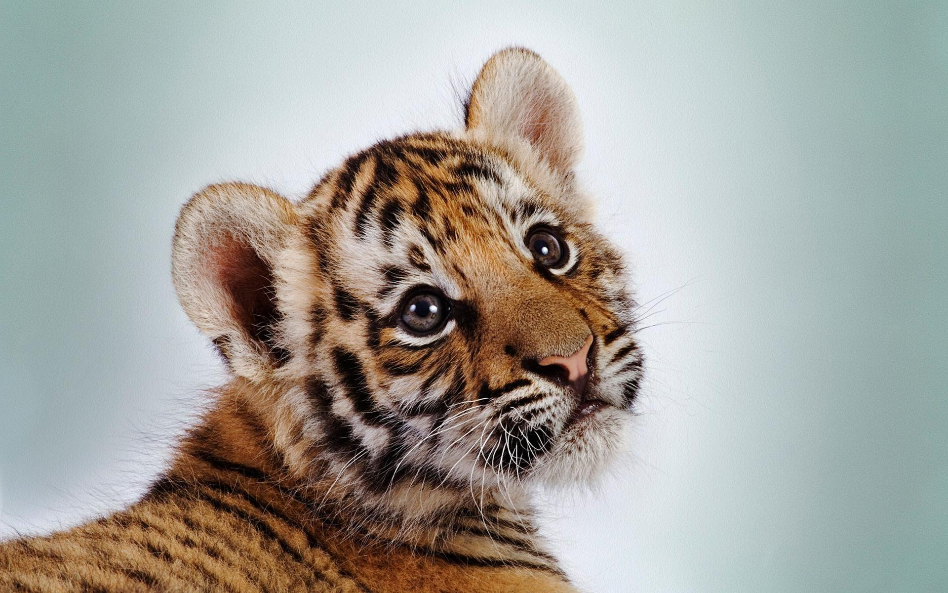 Baby tiger iphone wallpaper - photo#36
