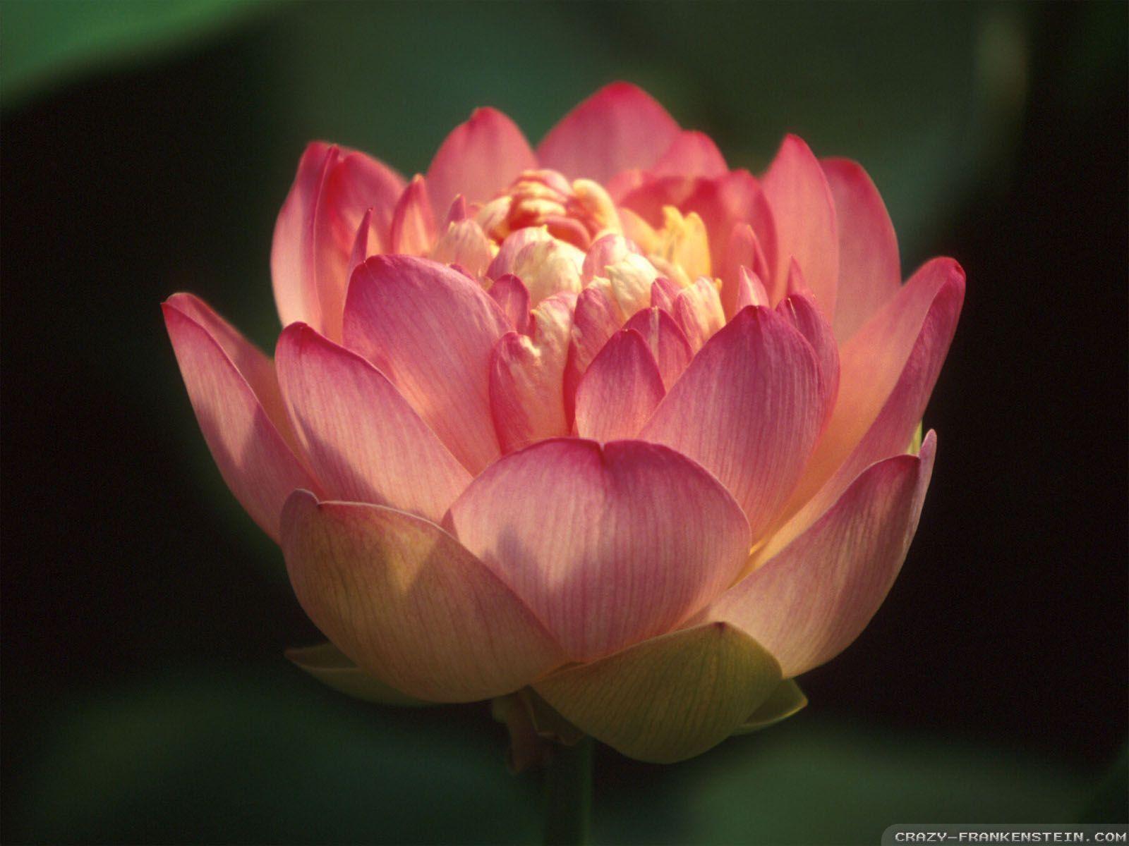 Red Lotus Flower Wallpaper Wallsmiga