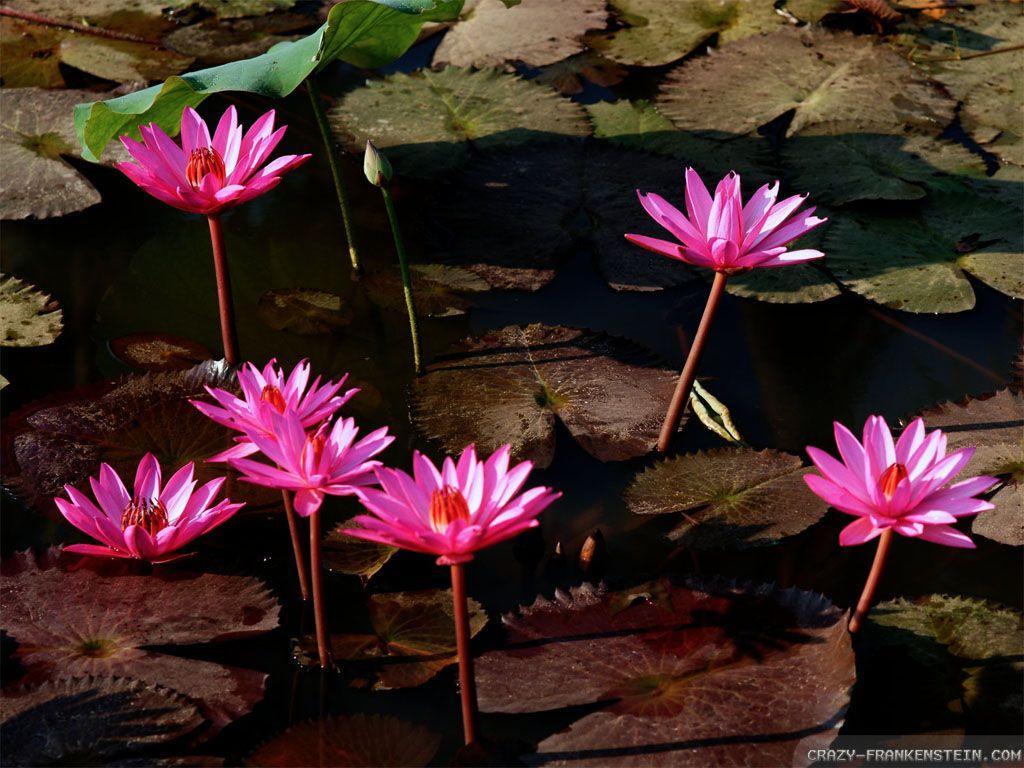 Red Lotus Flower Wallpapers - Wallpaper Cave