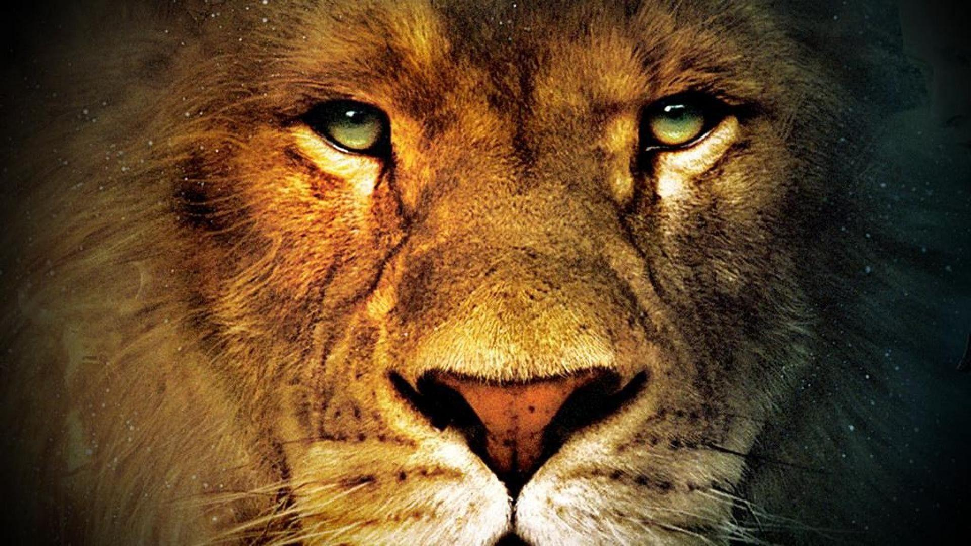 Lion Face Hd Wallpapers Wallpaper Cave