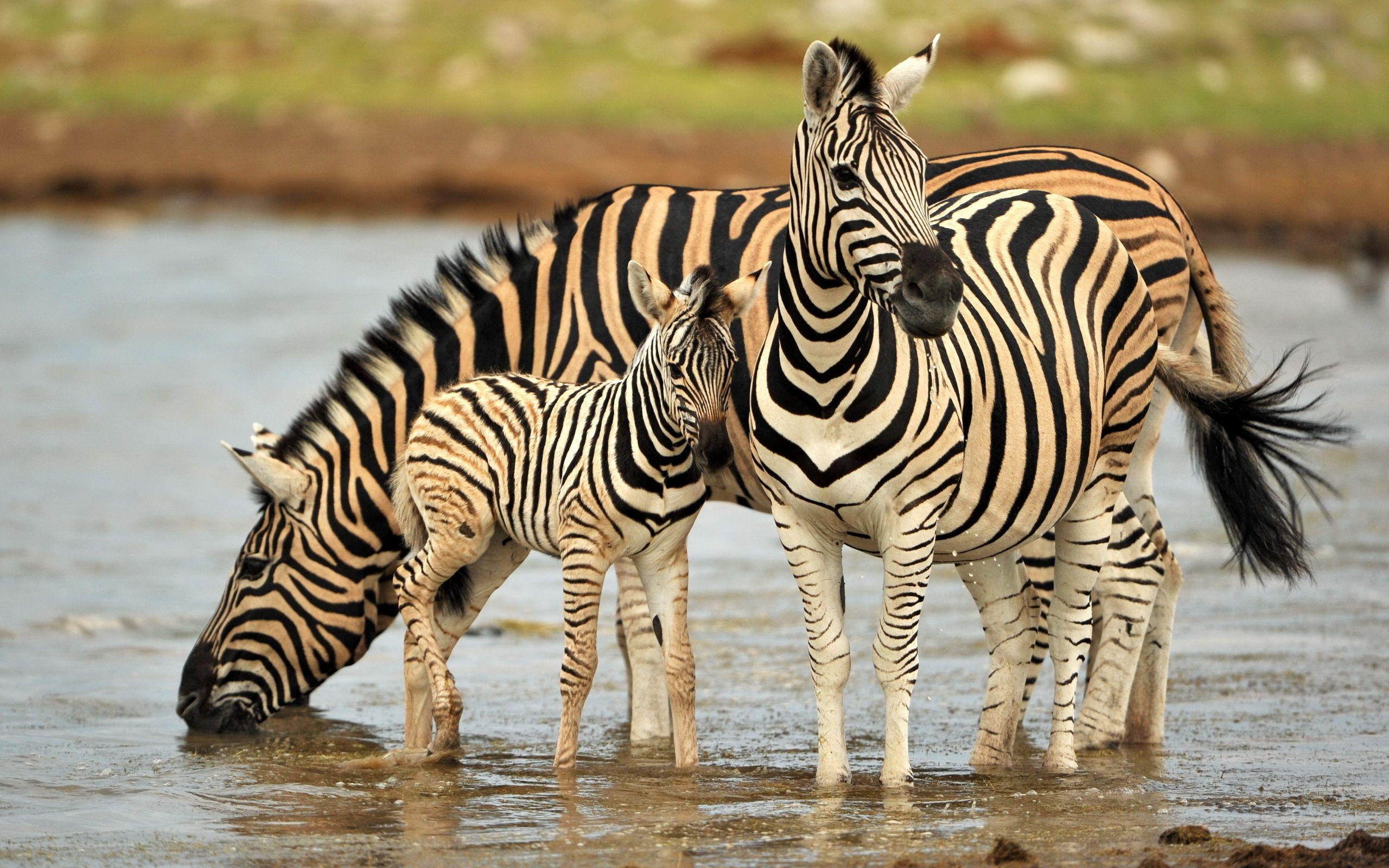 Zebra HD Wallpapers - Wallpaper Cave