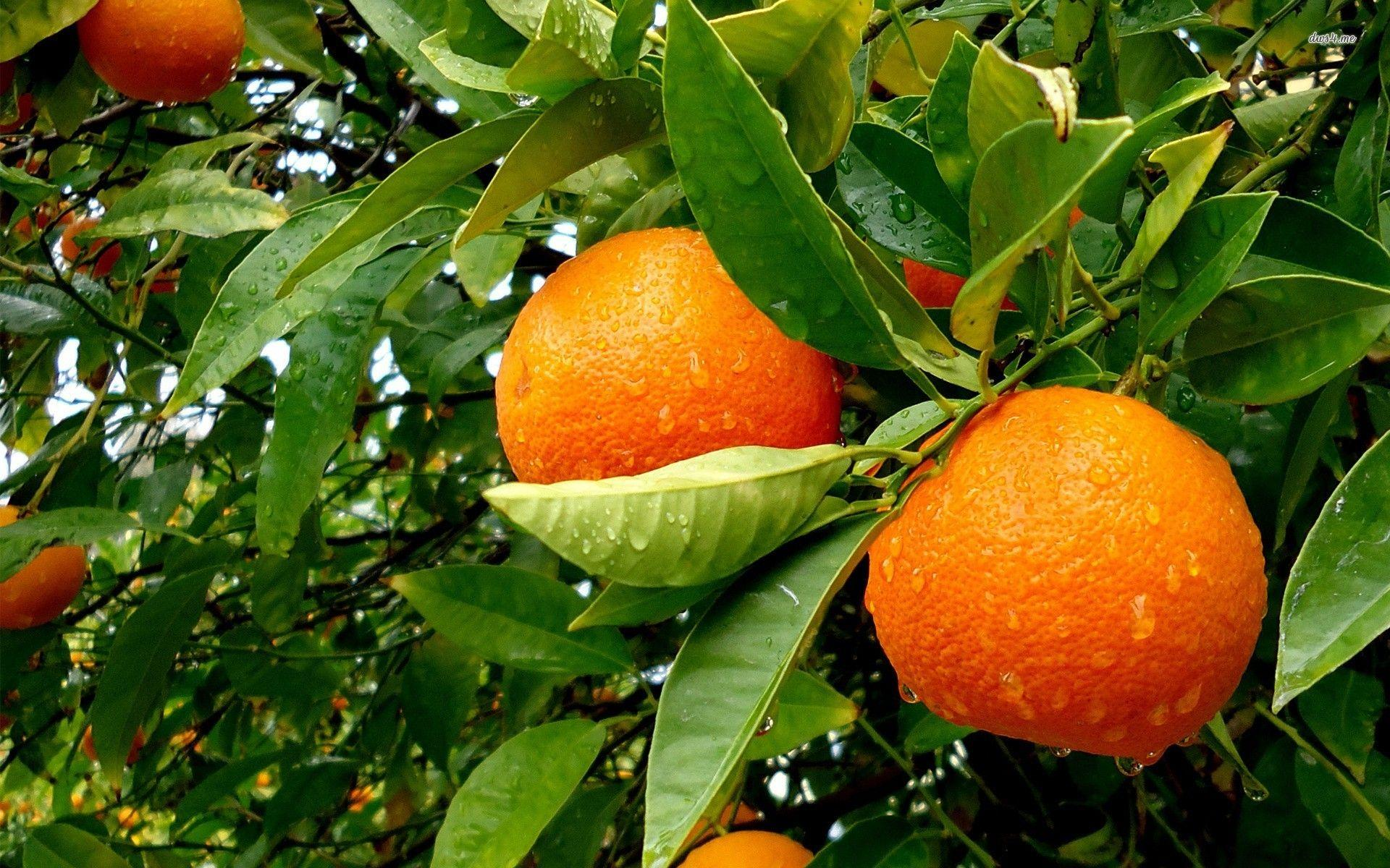 Orange Fruit and Its Origins | Information about crops