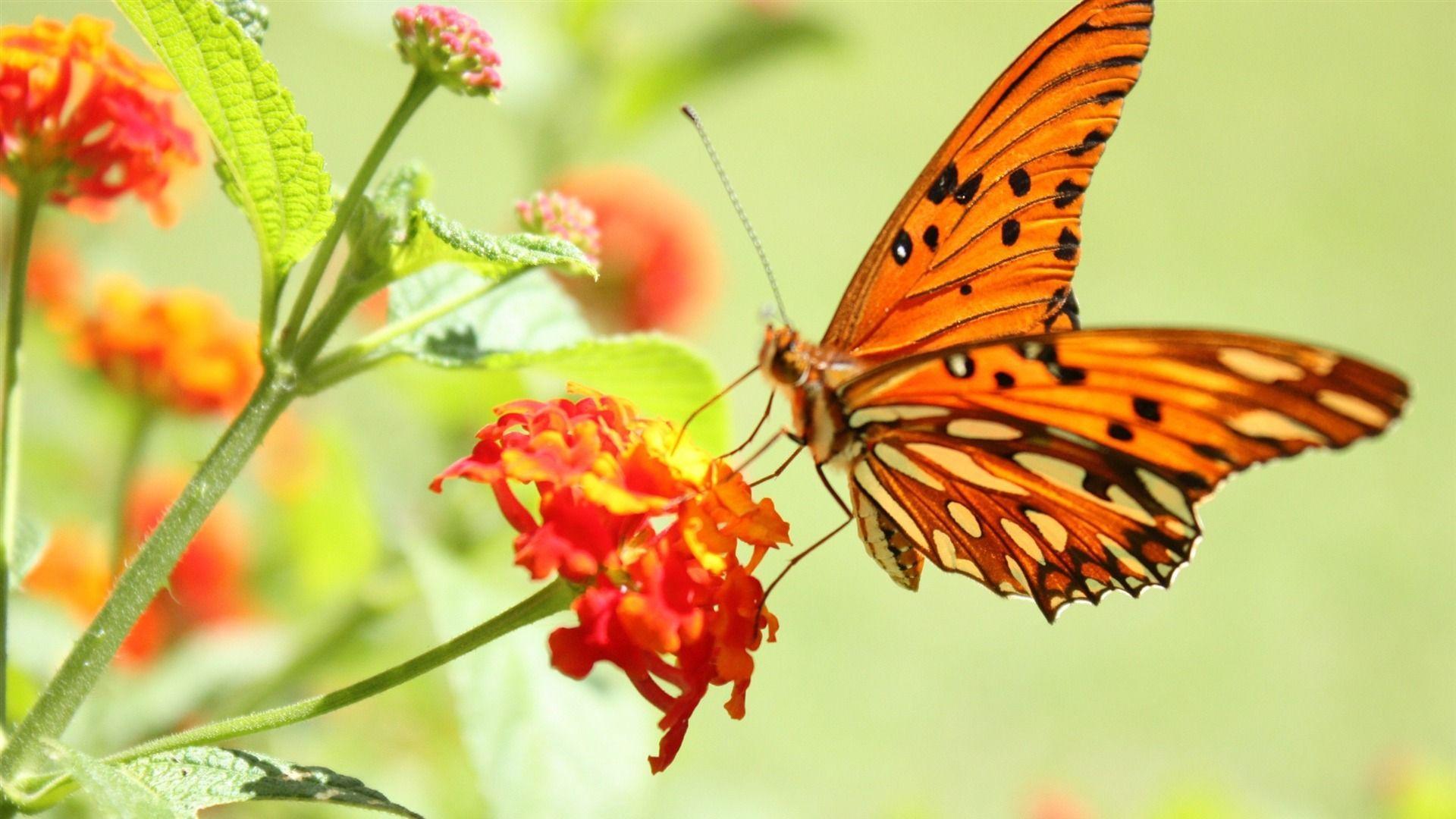Butterfly Wallpaper Hd Nature Flower