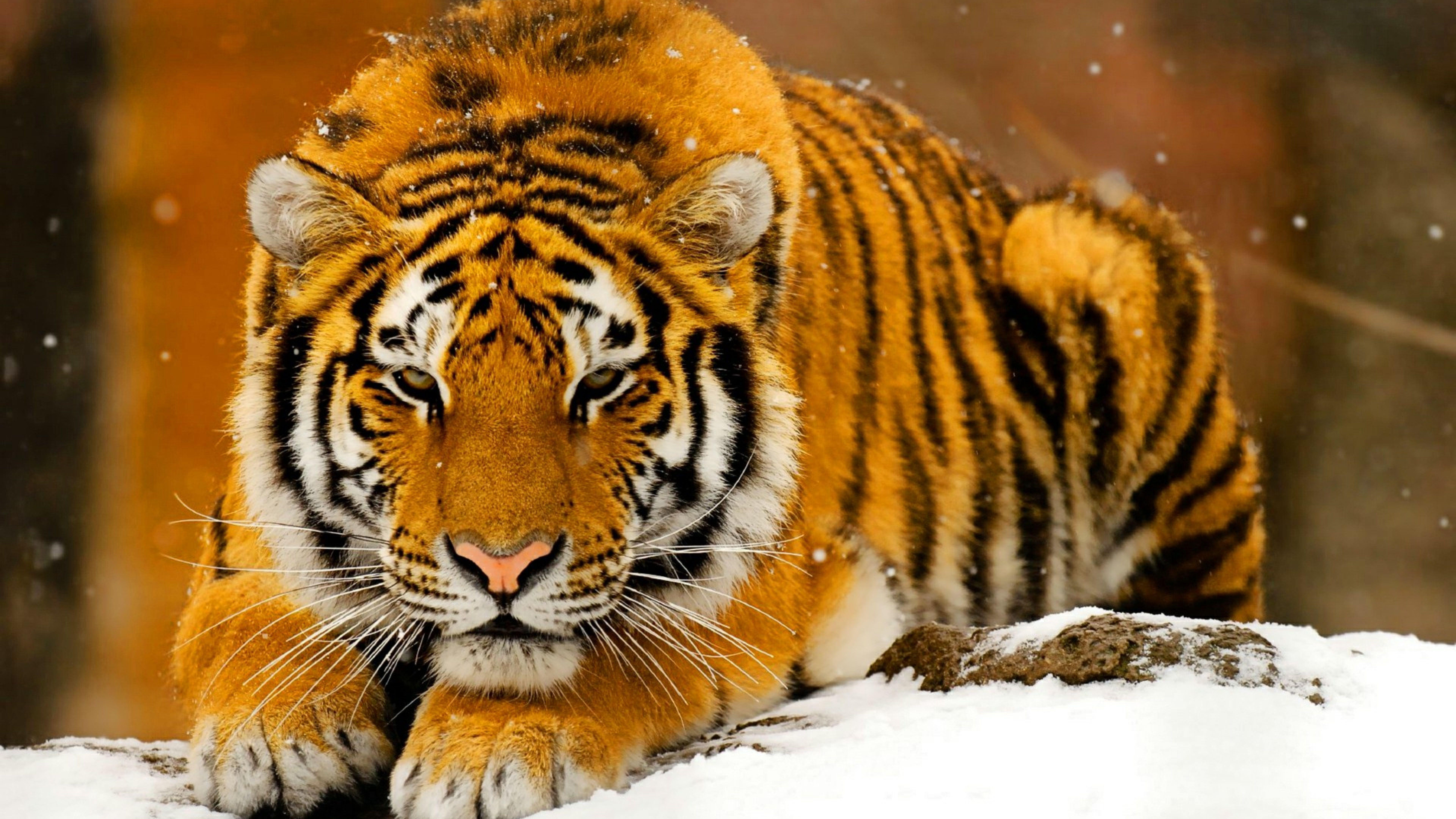 Free Hd Tiger Animal Wallpapers Download