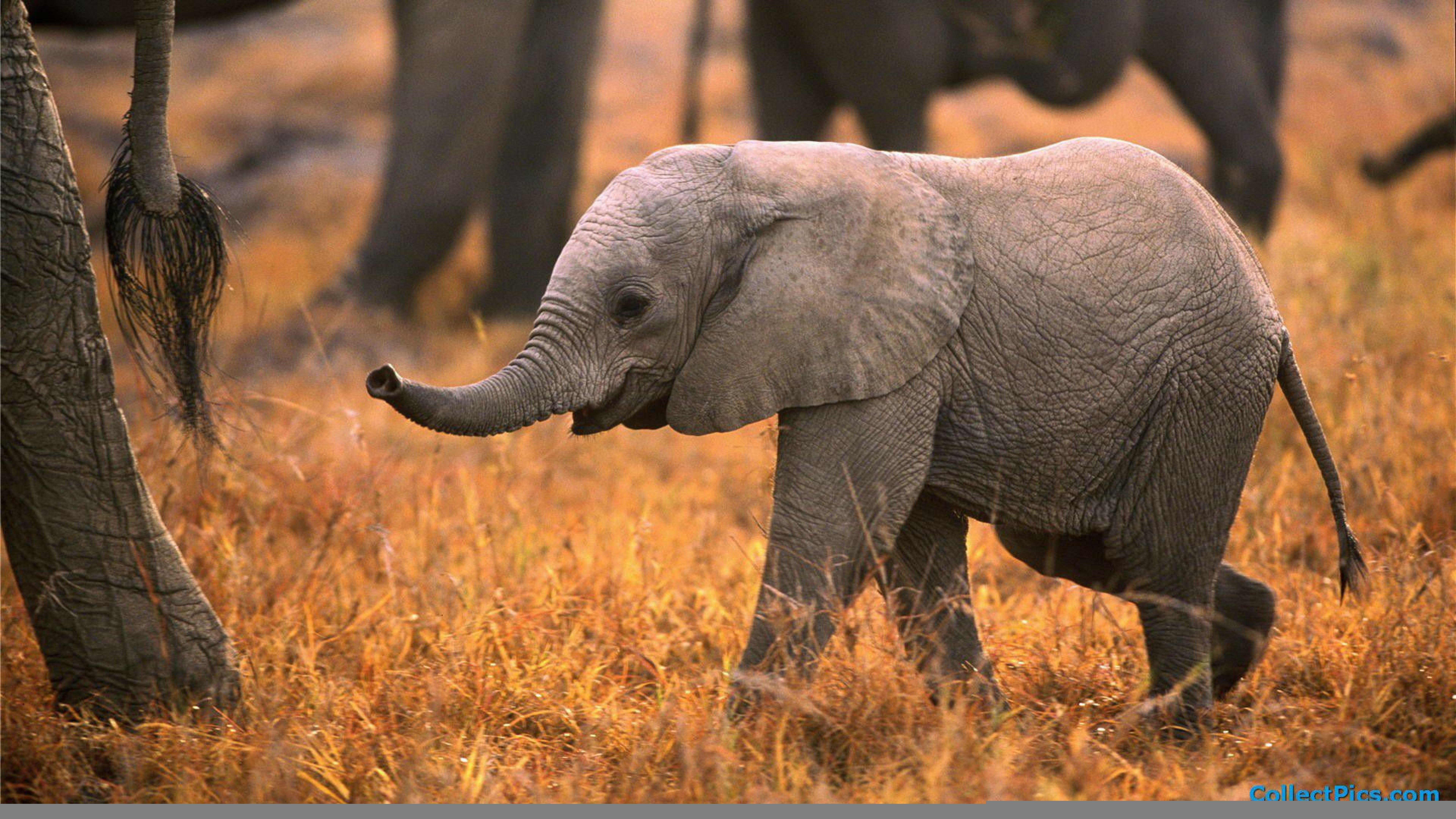 Baby Elephant Desktop Wallpapers